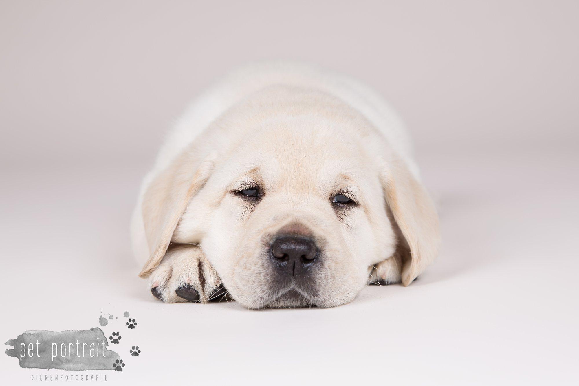 Hondenfotograaf Hillegom - Nestfotoshoot voor Labrador pups-7