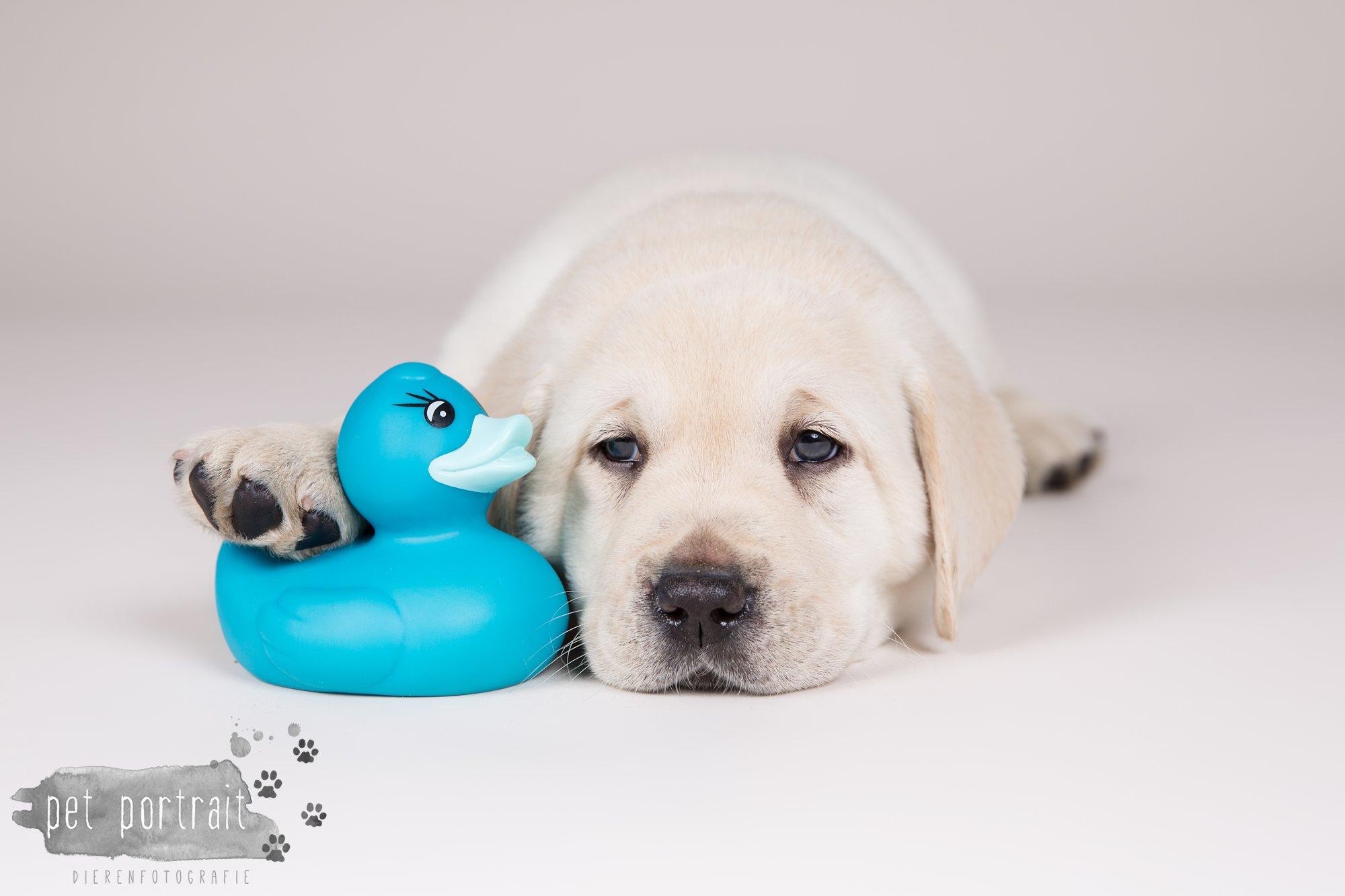 Hondenfotograaf Hillegom - Nestfotoshoot voor Labrador pups-8