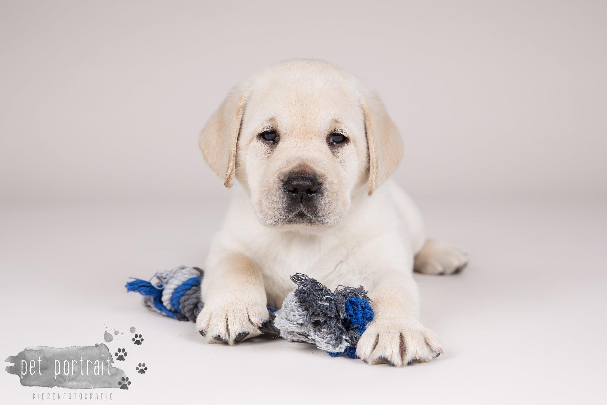 Hondenfotograaf Hillegom - Nestfotoshoot voor Labrador pups-9