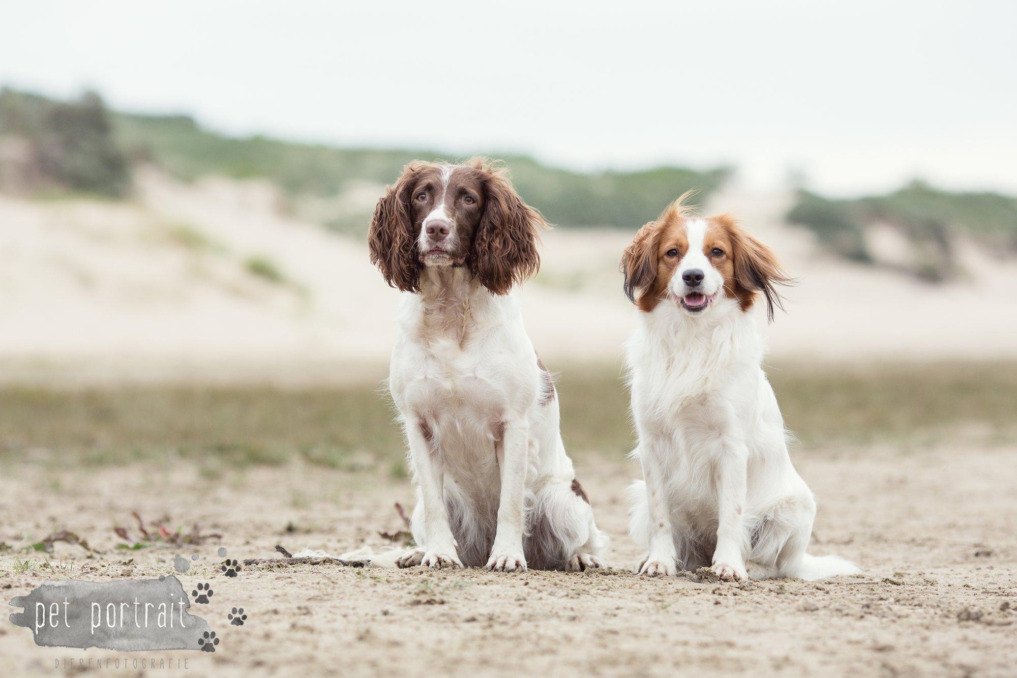 Hondenfotograaf Noordwijk - Springer Spaniel en Kooikerhondje-1