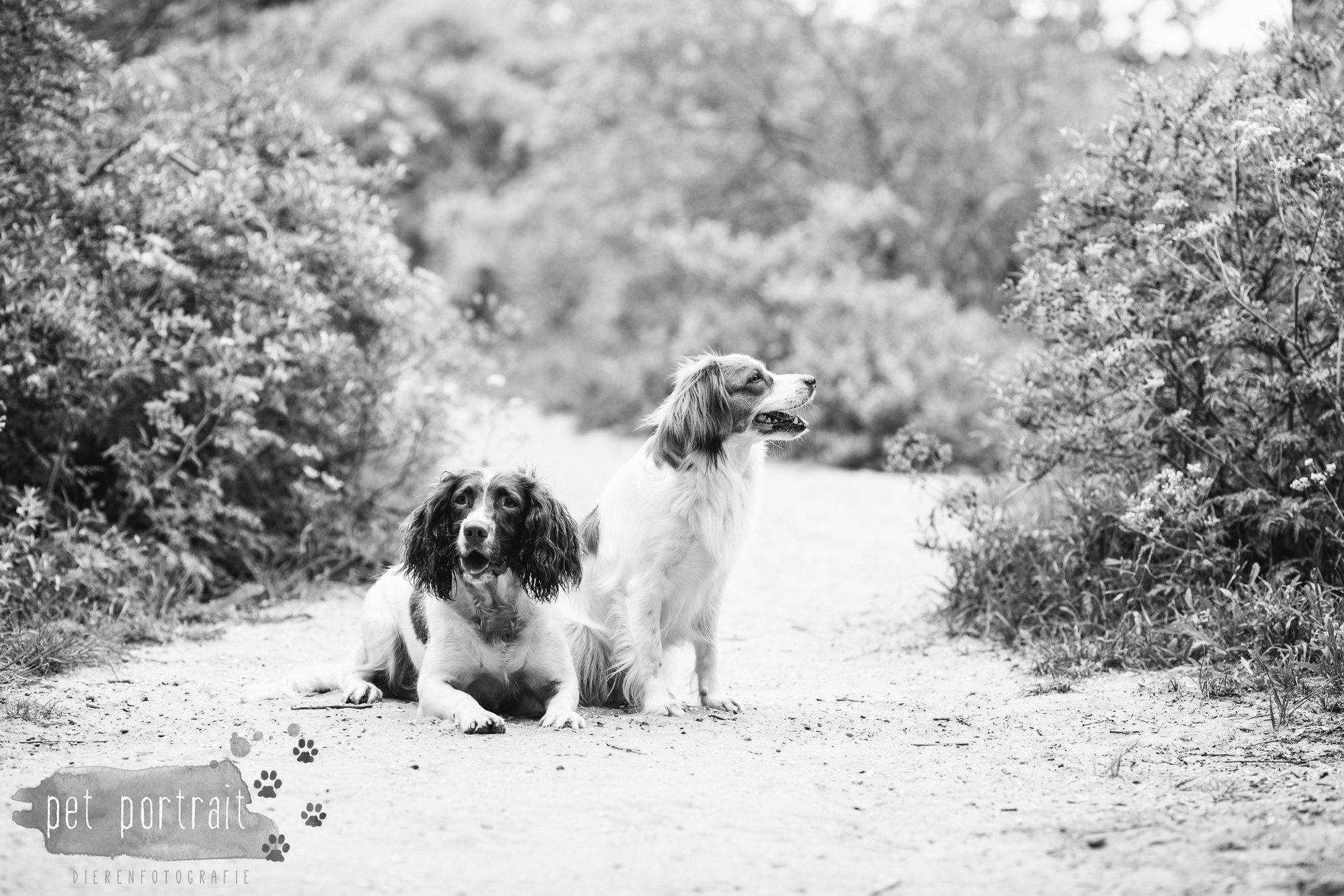 Hondenfotograaf Noordwijk - Springer Spaniel en Kooikerhondje-10