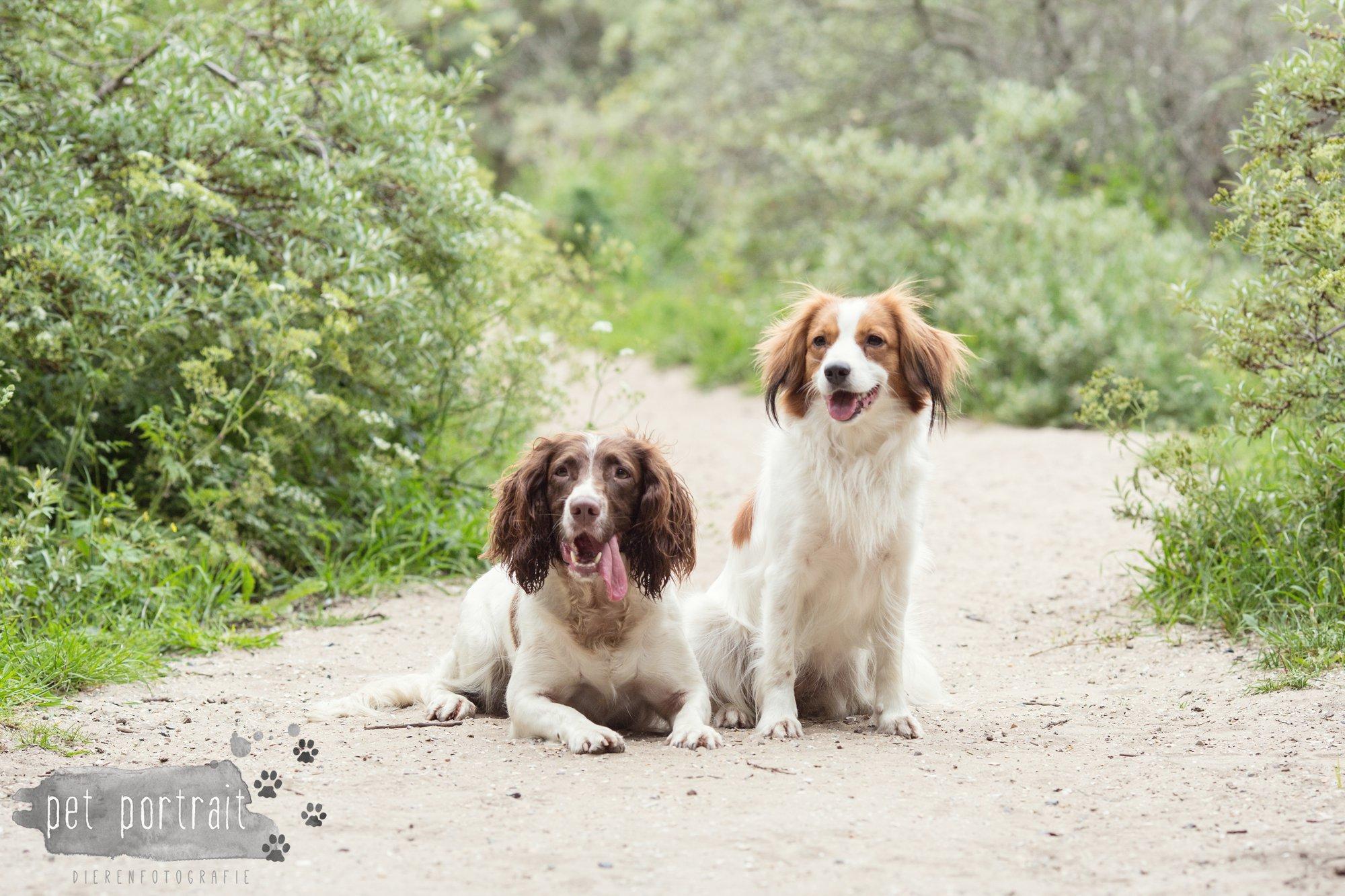 Hondenfotograaf Noordwijk - Springer Spaniel en Kooikerhondje-11
