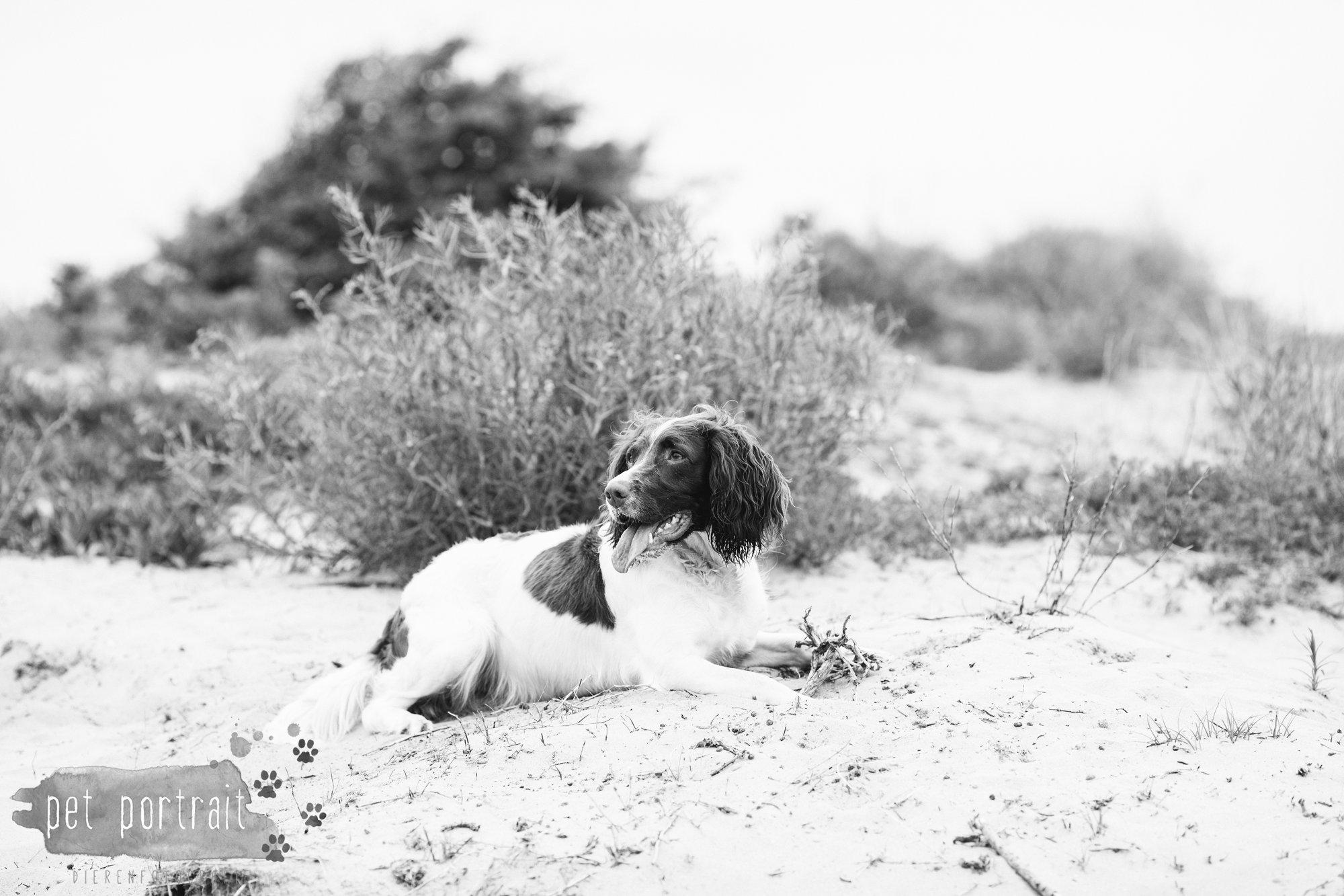 Hondenfotograaf Noordwijk - Springer Spaniel en Kooikerhondje-13