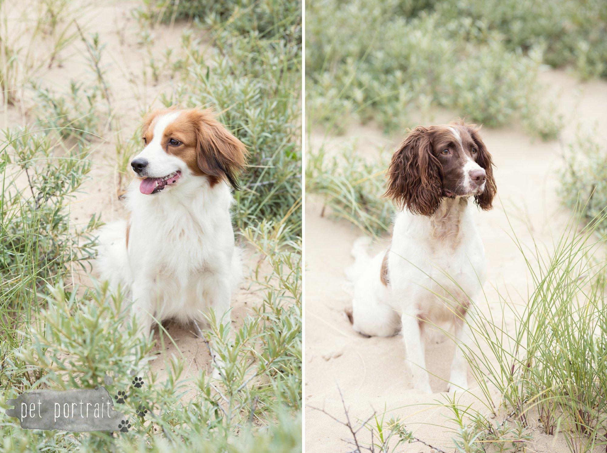 Hondenfotograaf Noordwijk - Springer Spaniel en Kooikerhondje-4