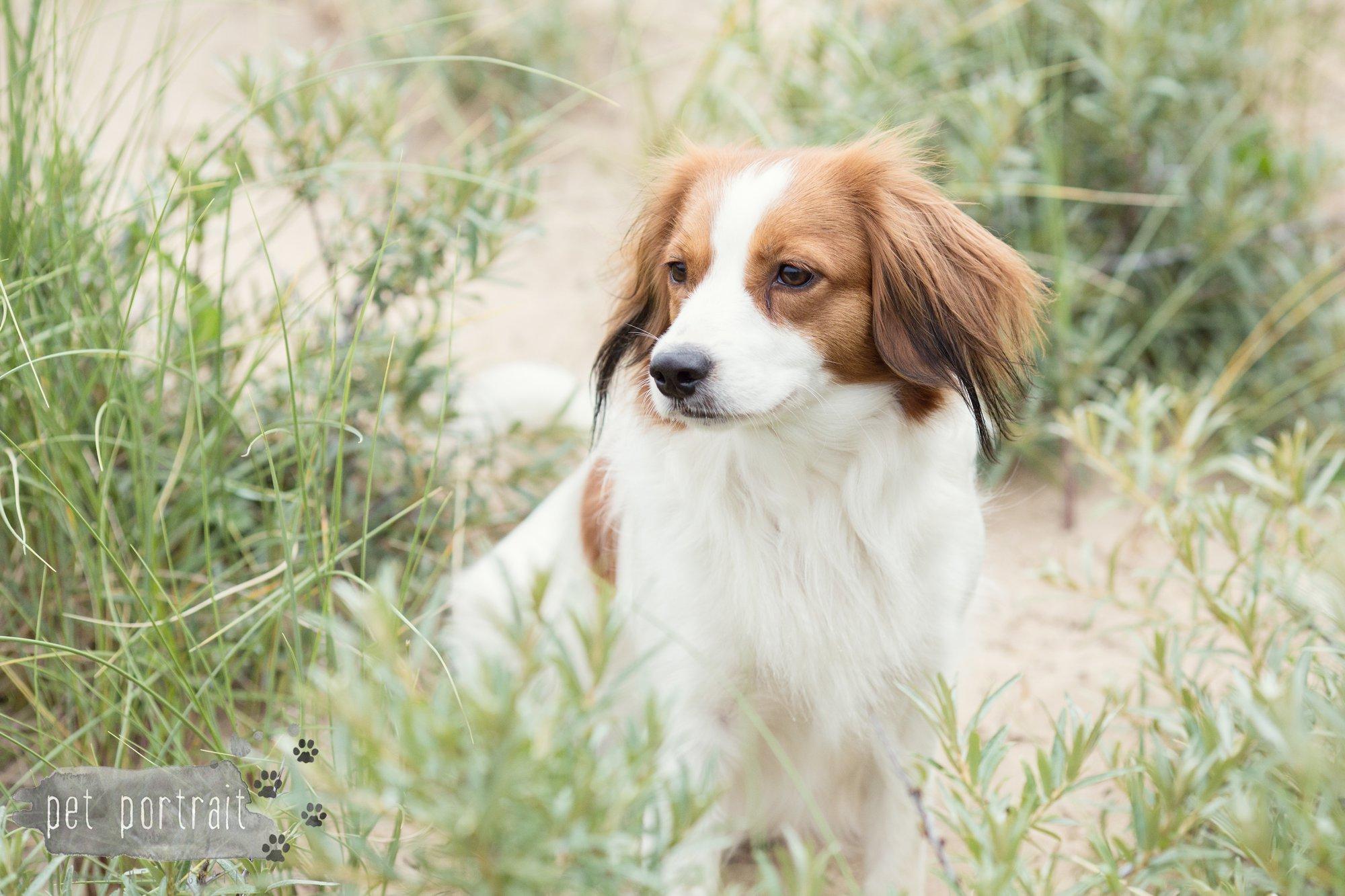 Hondenfotograaf Noordwijk - Springer Spaniel en Kooikerhondje-5
