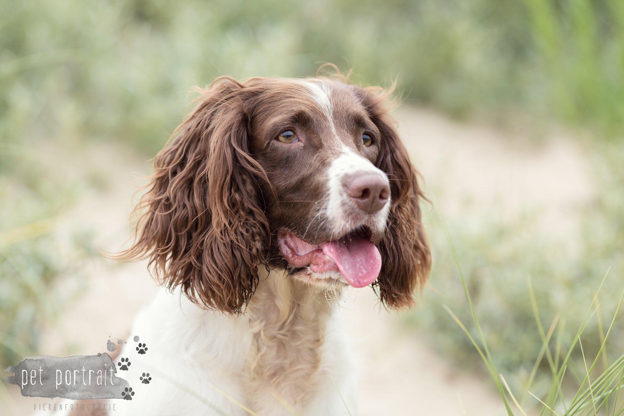 Hondenfotograaf Noordwijk - Springer Spaniel en Kooikerhondje-7