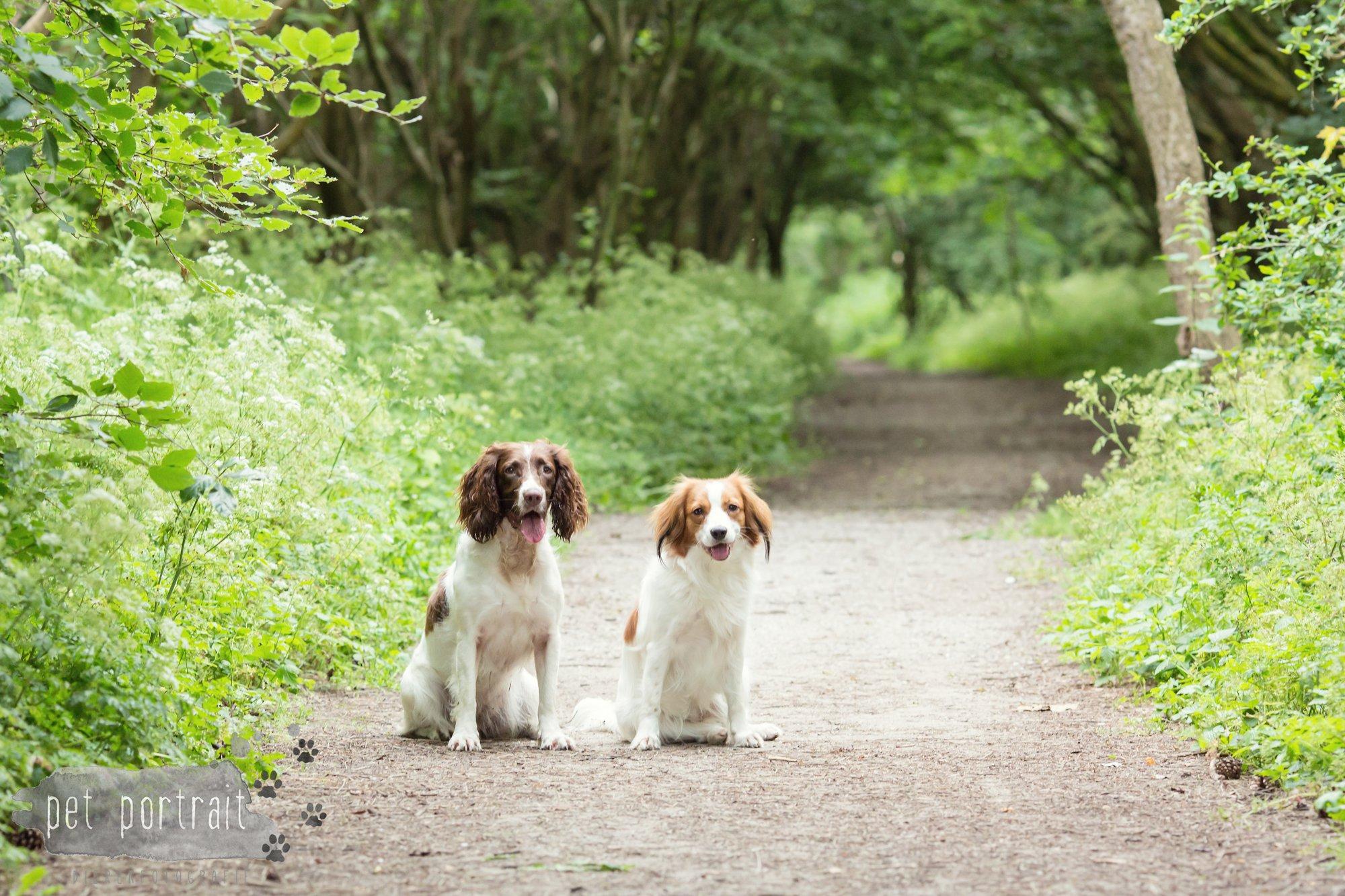 Hondenfotograaf Noordwijk - Springer Spaniel en Kooikerhondje-8