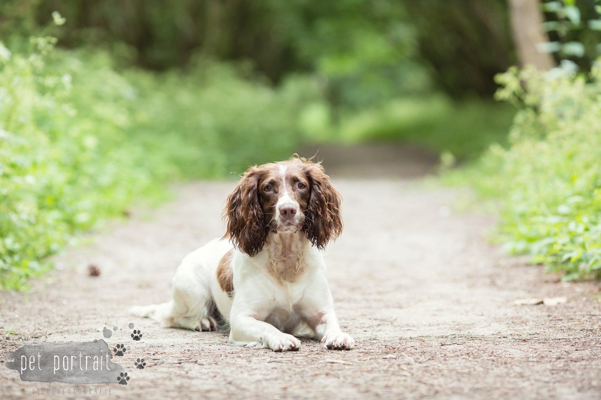 Hondenfotograaf Noordwijk - Springer Spaniel en Kooikerhondje-9