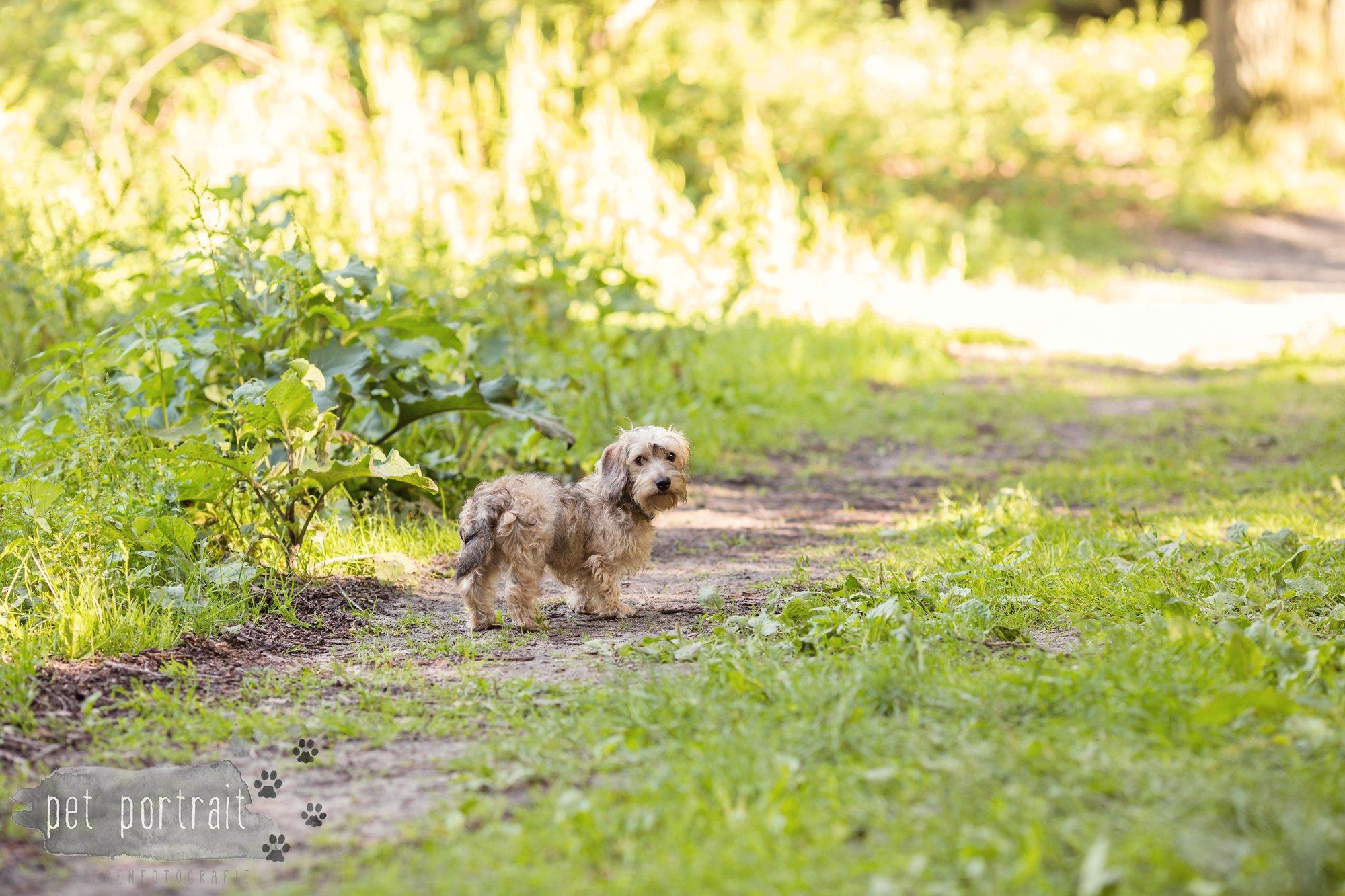 Hondenfotograaf Heemstede - Dwergteckel Jet-1