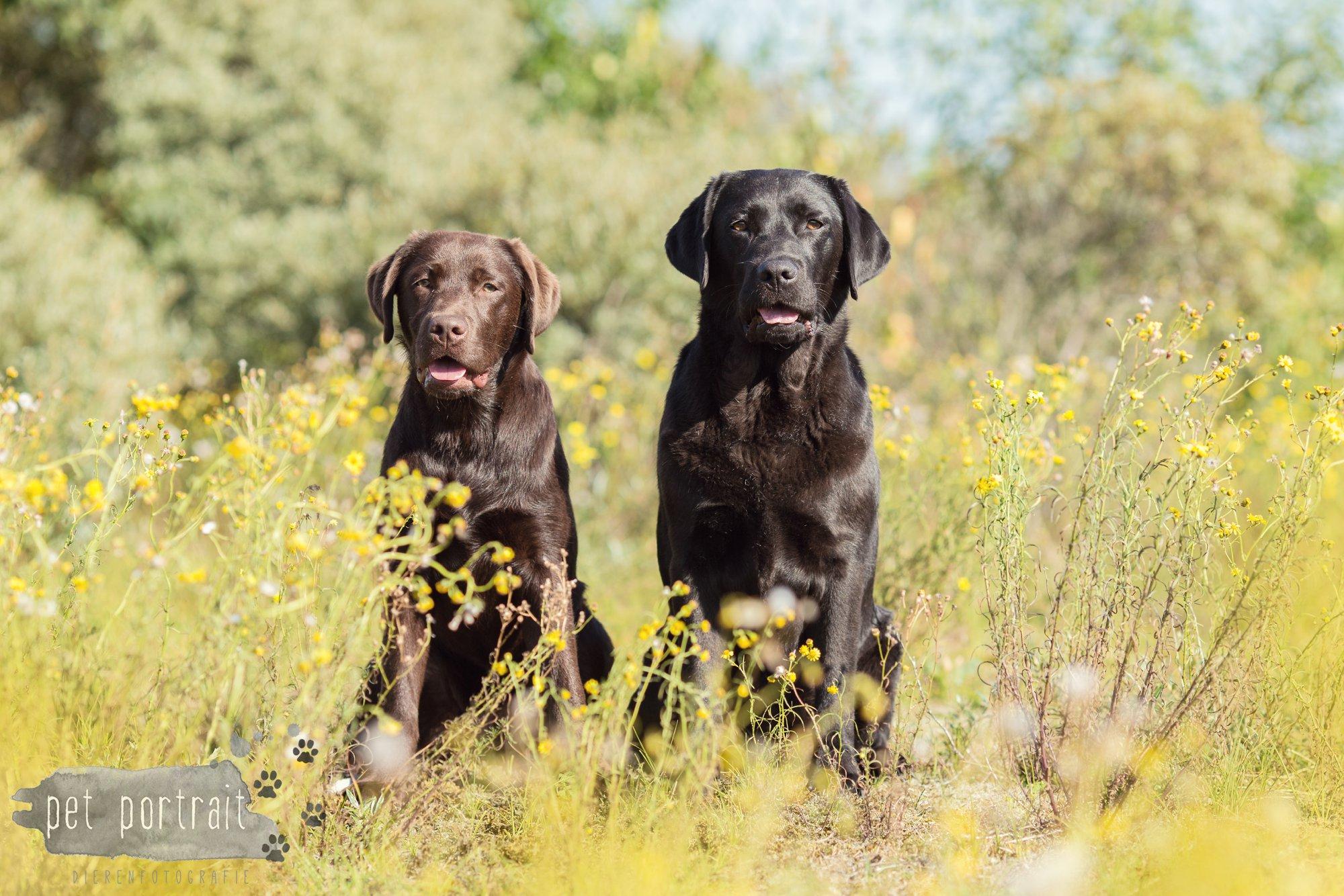 Hondenfotograaf Wassenaar - Fotoshoot voor Labrador retrievers