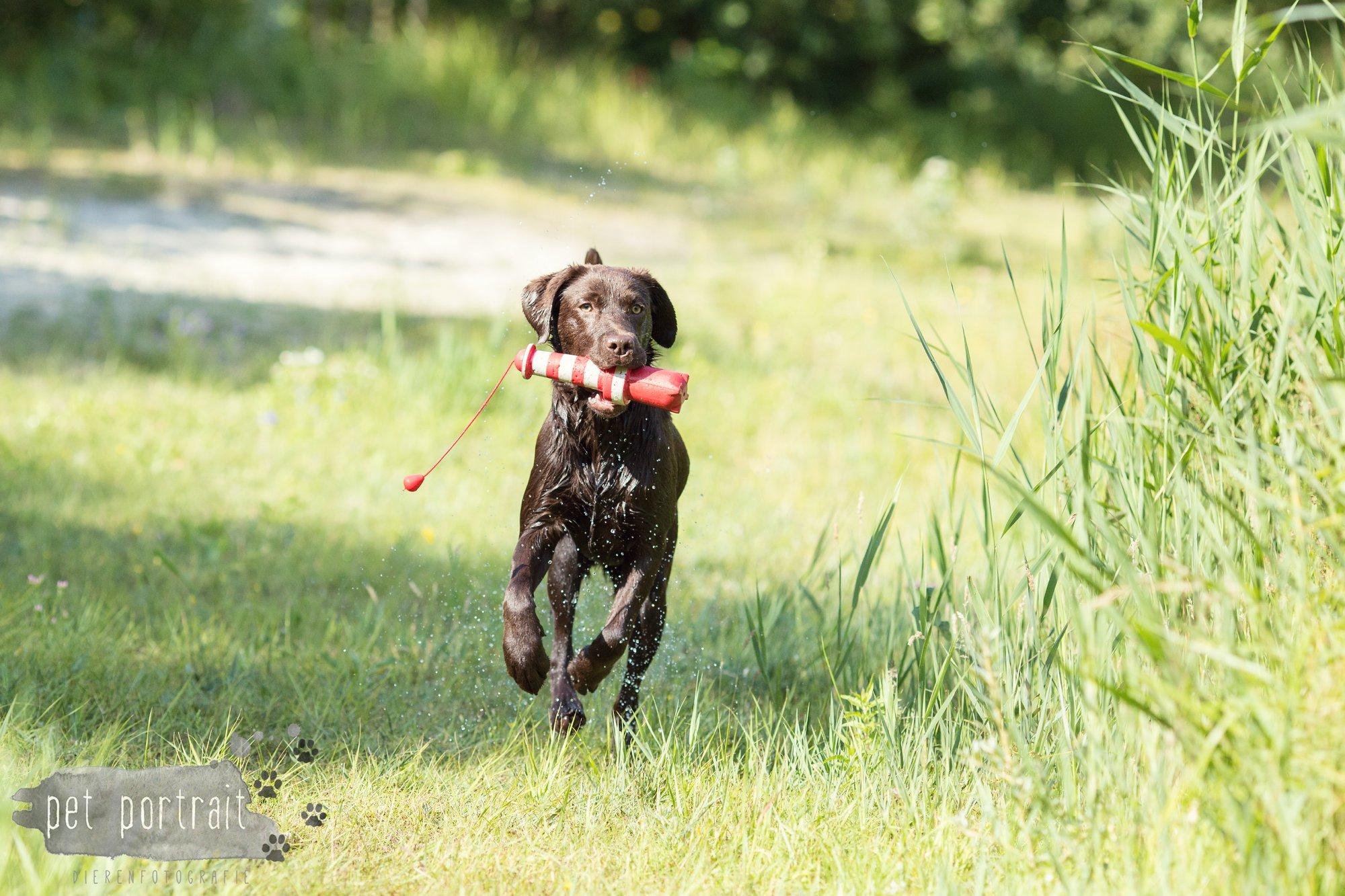Hondenfotograaf Wassenaar - Fotoshoot voor Labrador retrievers-10