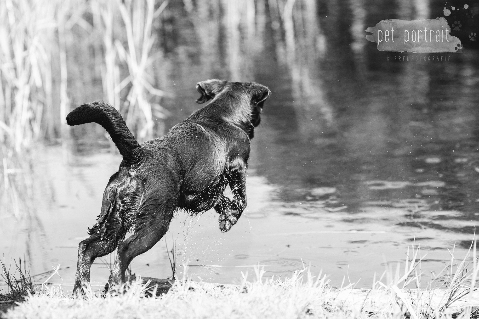 Hondenfotograaf Wassenaar - Fotoshoot voor Labrador retrievers-11