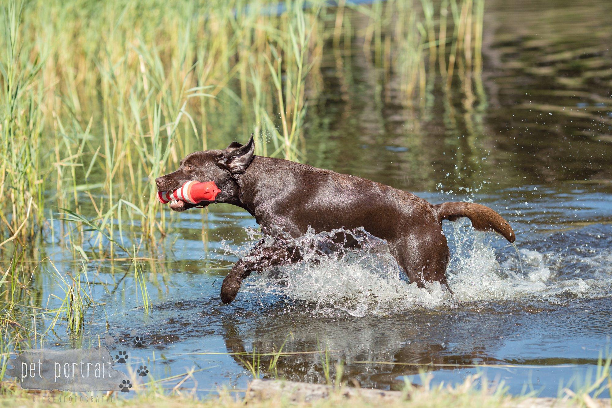 Hondenfotograaf Wassenaar - Fotoshoot voor Labrador retrievers-12