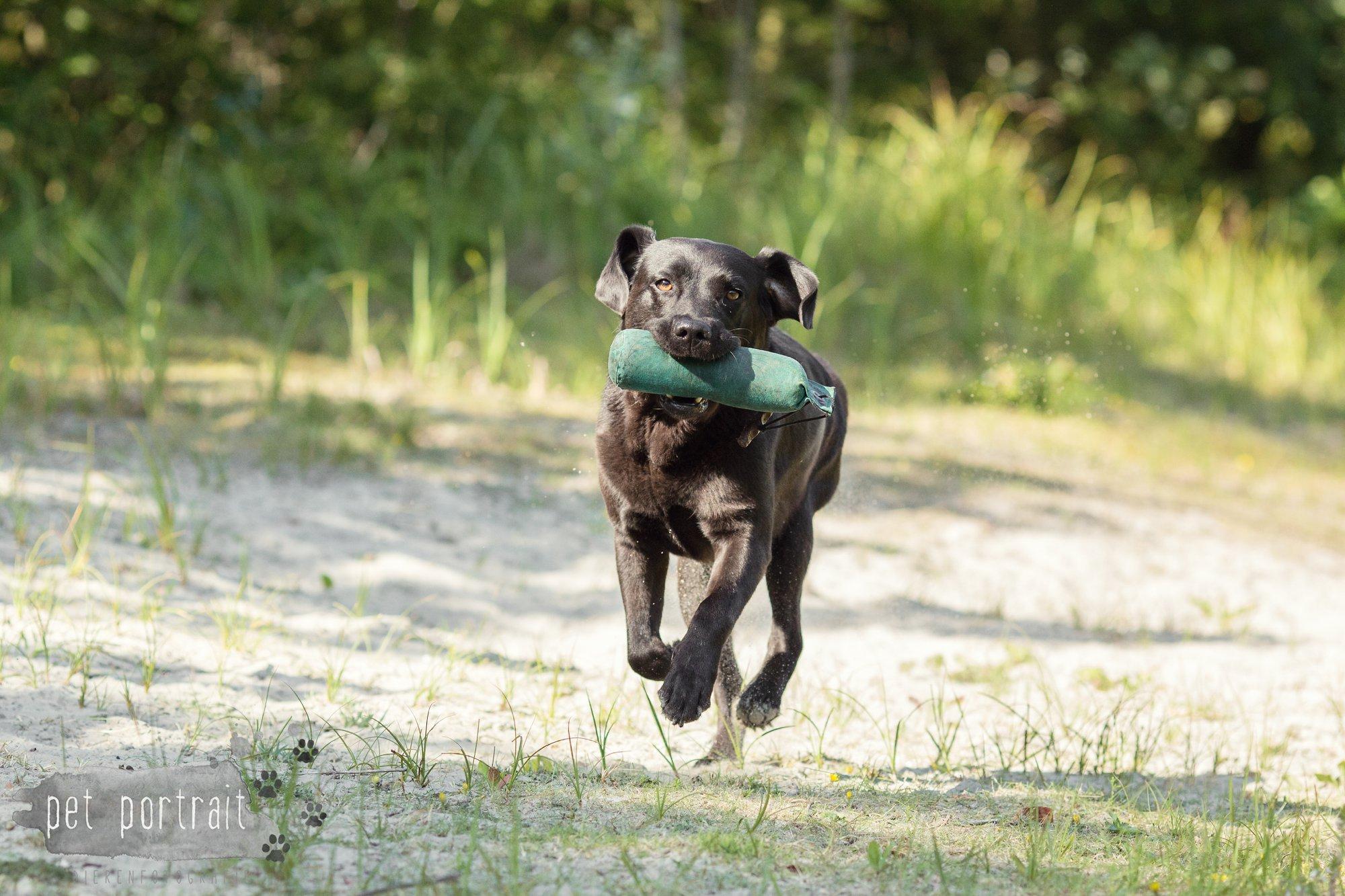 Hondenfotograaf Wassenaar - Fotoshoot voor Labrador retrievers-13