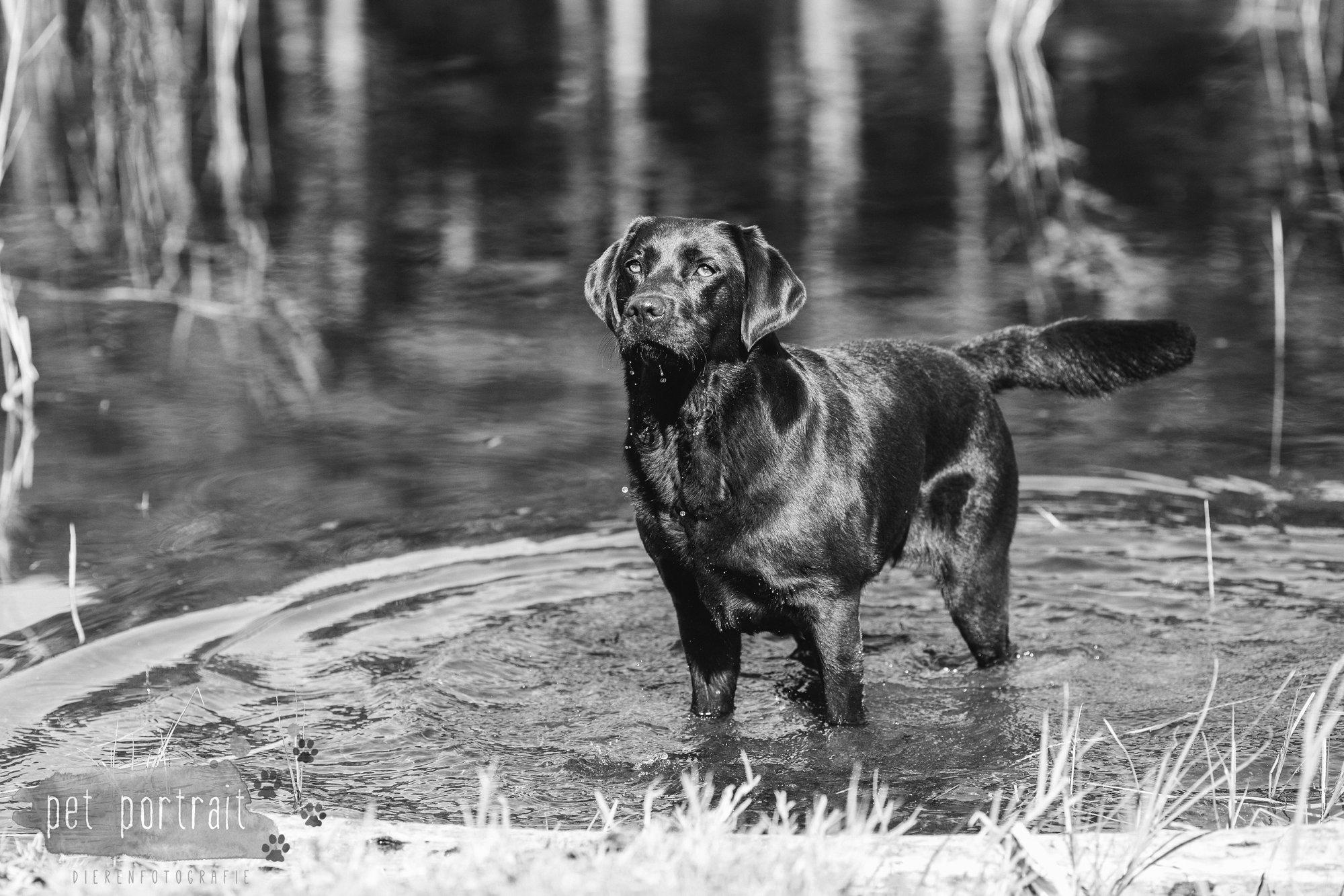 Hondenfotograaf Wassenaar - Fotoshoot voor Labrador retrievers-14