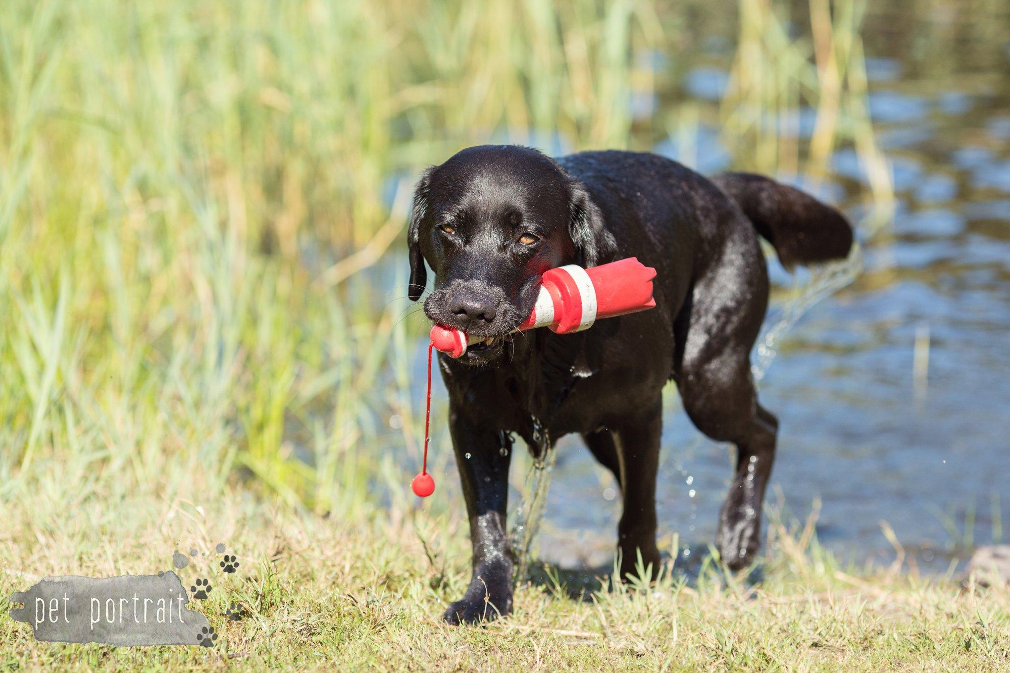 Hondenfotograaf Wassenaar - Fotoshoot voor Labrador retrievers-15