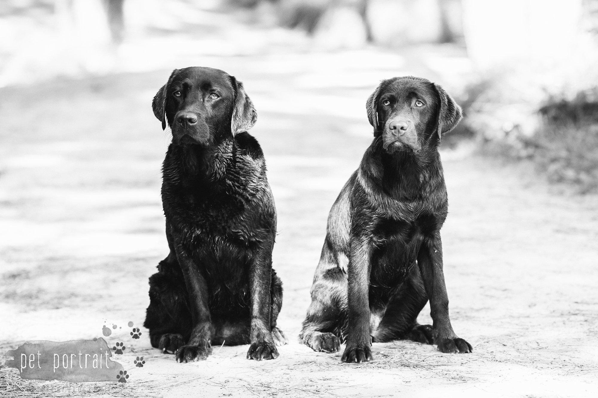 Hondenfotograaf Wassenaar - Fotoshoot voor Labrador retrievers-17