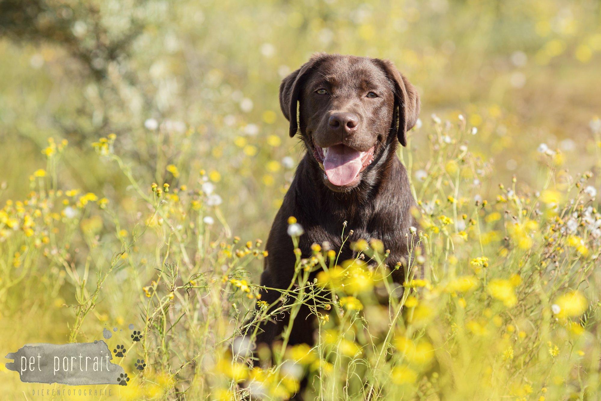 Hondenfotograaf Wassenaar - Fotoshoot voor Labrador retrievers-4