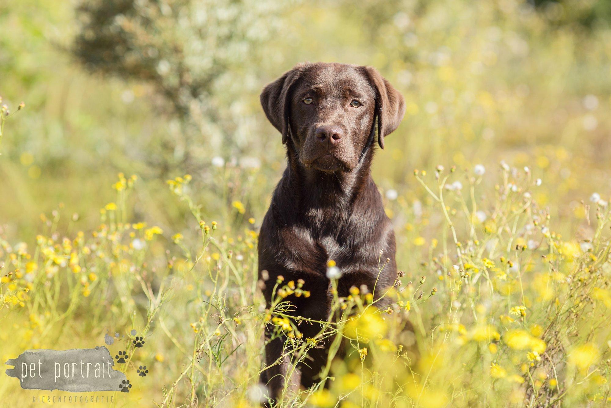 Hondenfotograaf Wassenaar - Fotoshoot voor Labrador retrievers-6