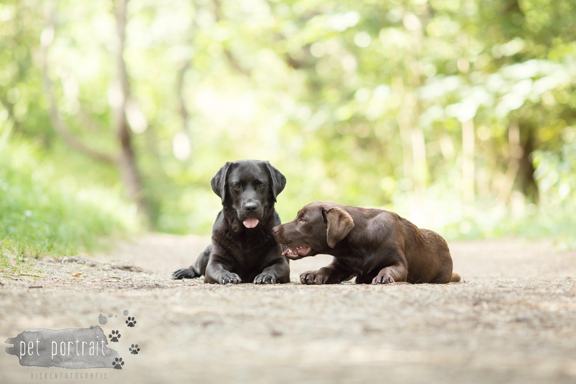 Hondenfotograaf Wassenaar - Fotoshoot voor Labrador retrievers-7