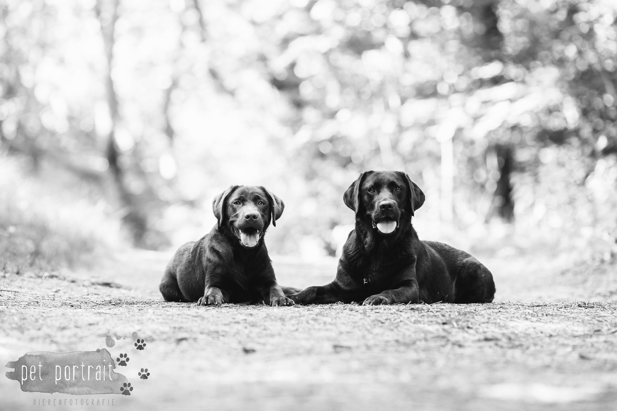 Hondenfotograaf Wassenaar - Fotoshoot voor Labrador retrievers-8