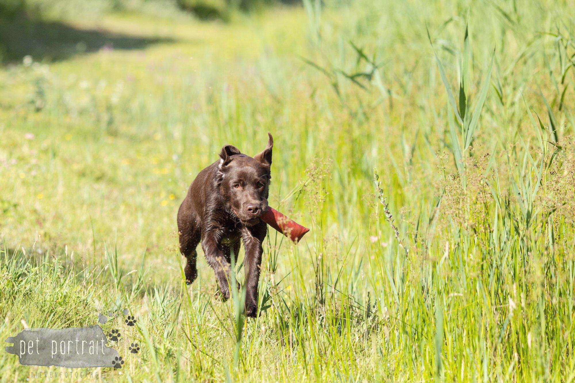 Hondenfotograaf Wassenaar - Fotoshoot voor Labrador retrievers-9