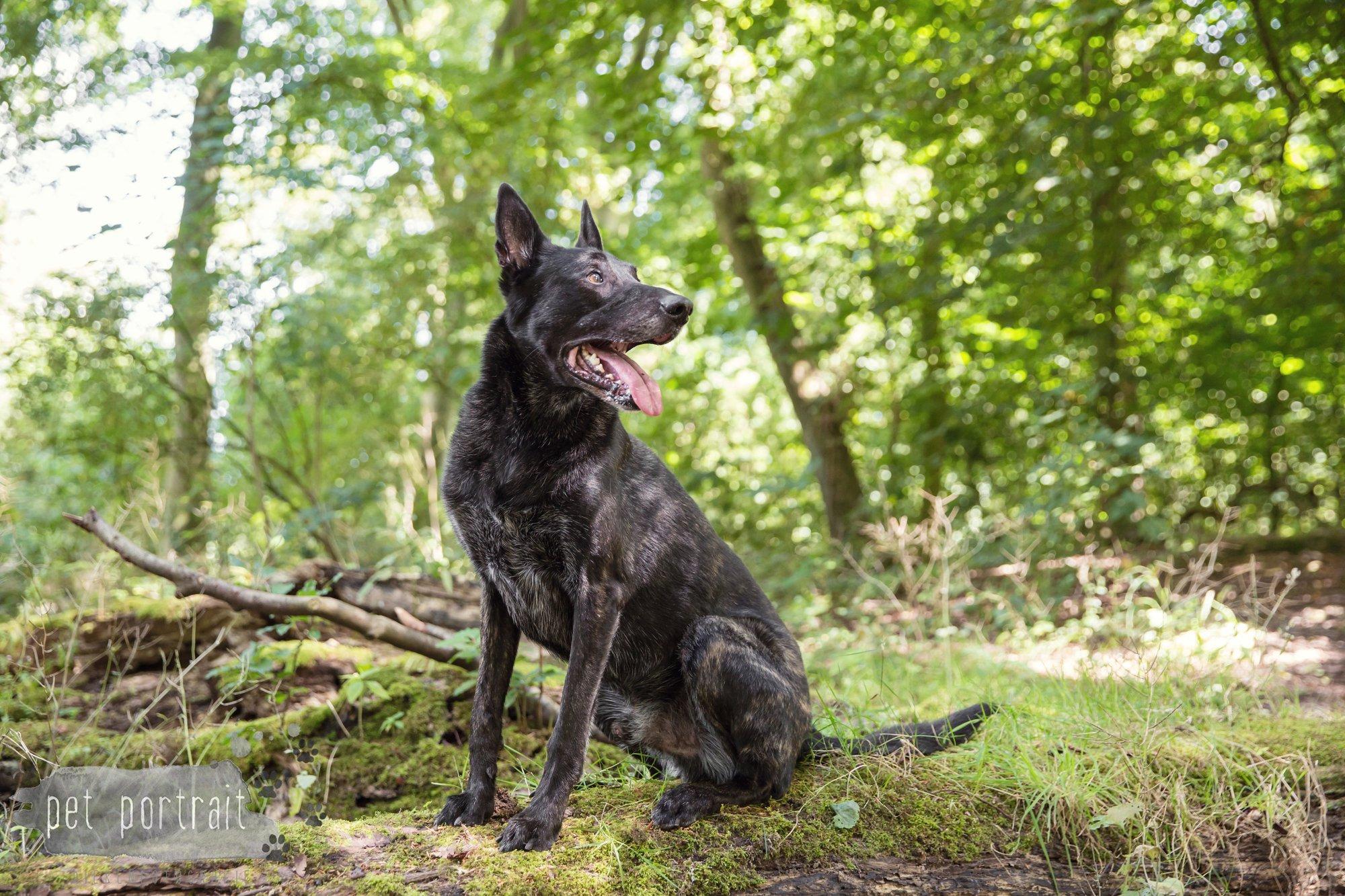 Hondenfotograaf Heemstede - Hollandse Herder en Tervuerense Herder-2