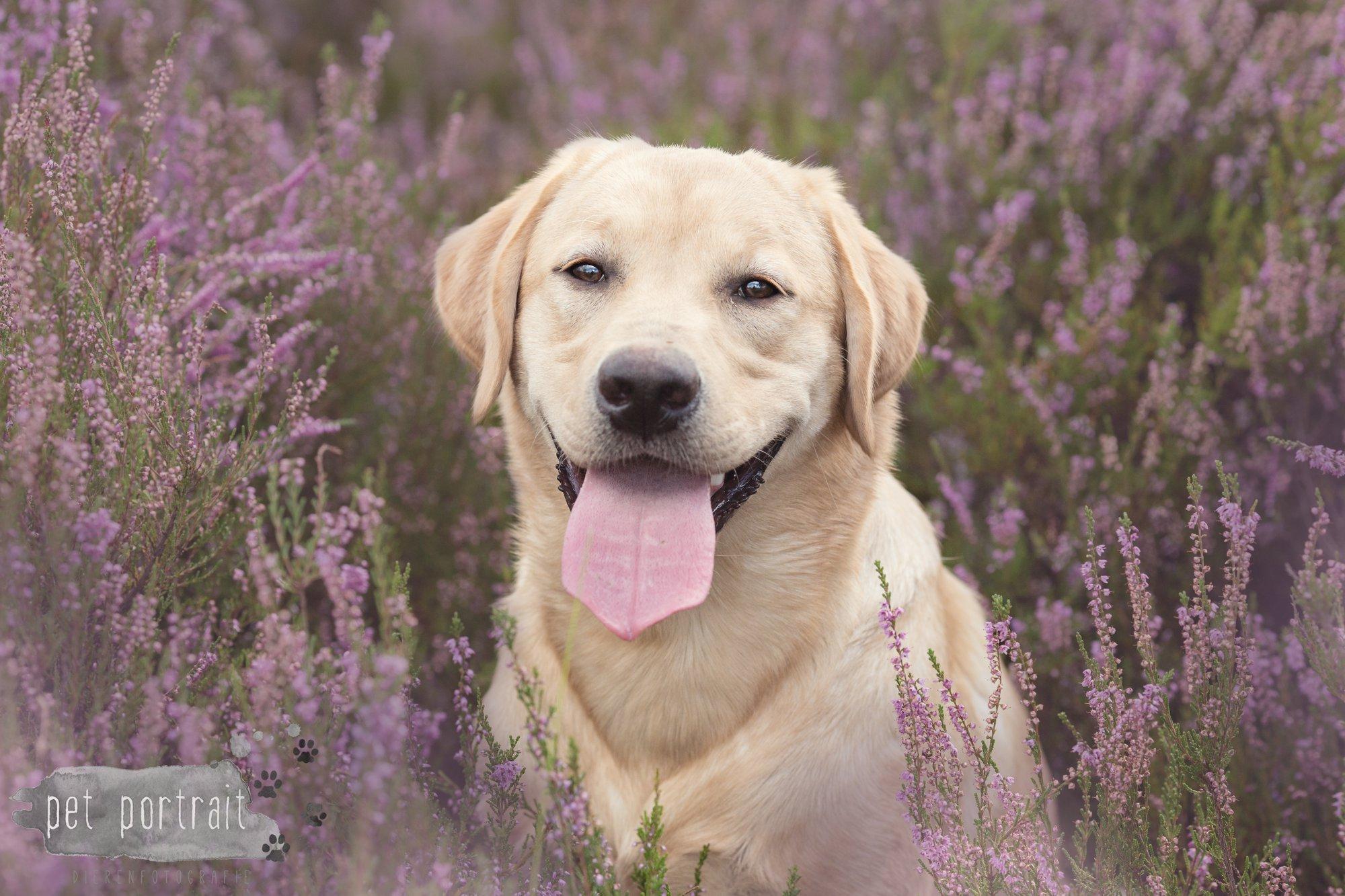 Labradors Freyja en Juno - Heide 2016-10