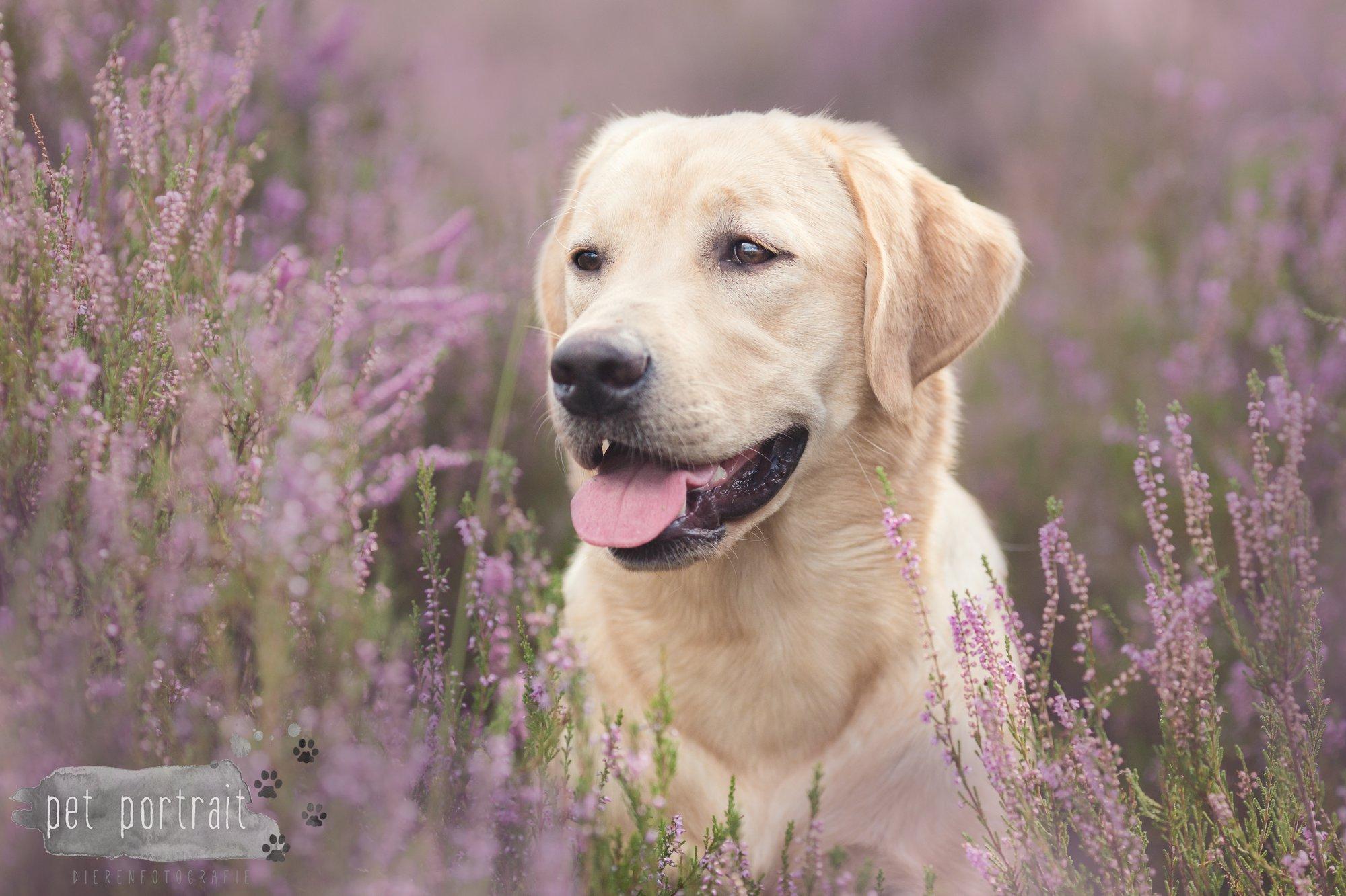 Labradors Freyja en Juno - Heide 2016-12