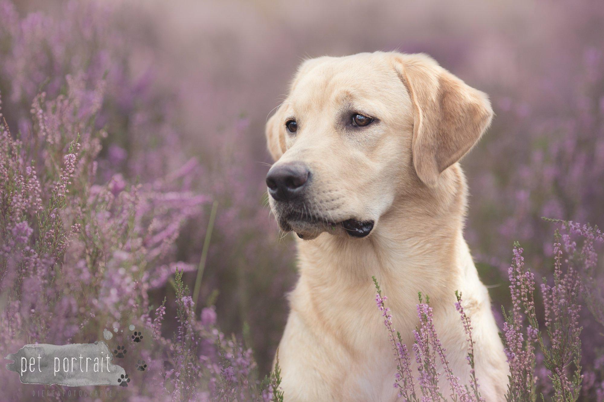 Labradors Freyja en Juno - Heide 2016-14