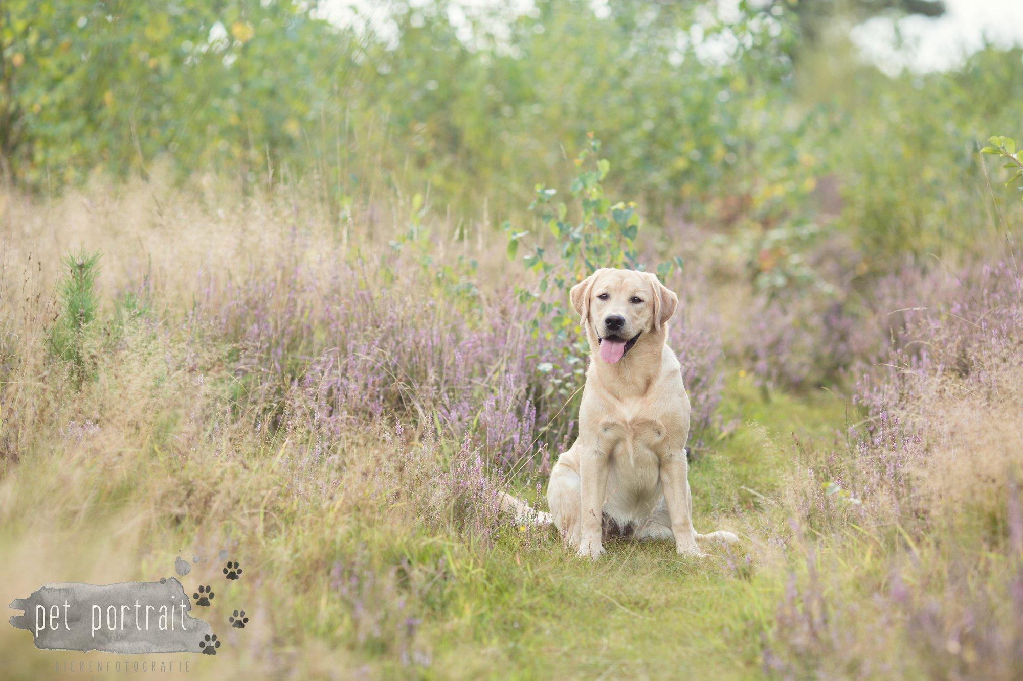Labradors Freyja en Juno - Heide 2016-2