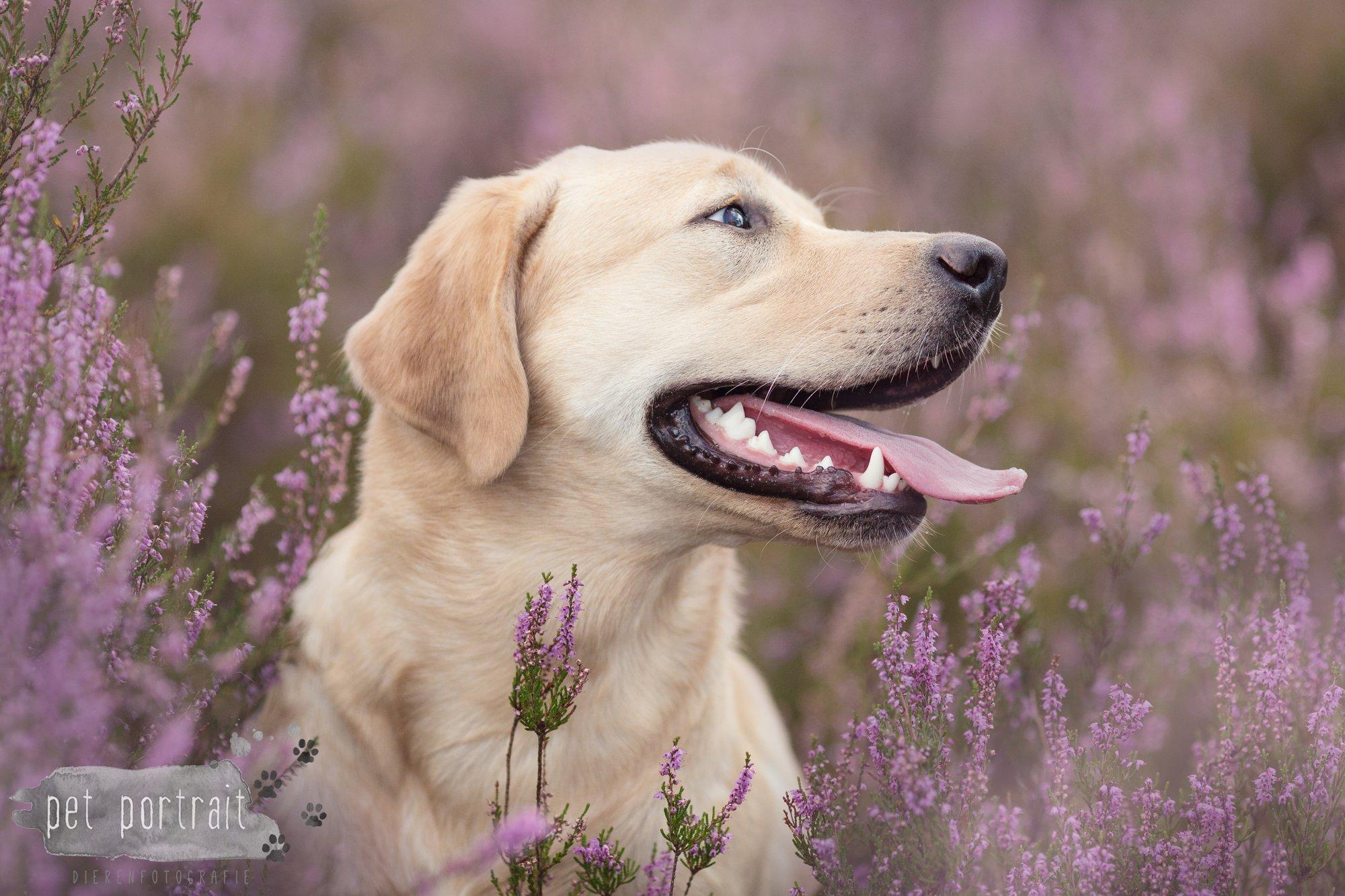 Labradors Freyja en Juno - Heide 2016-20