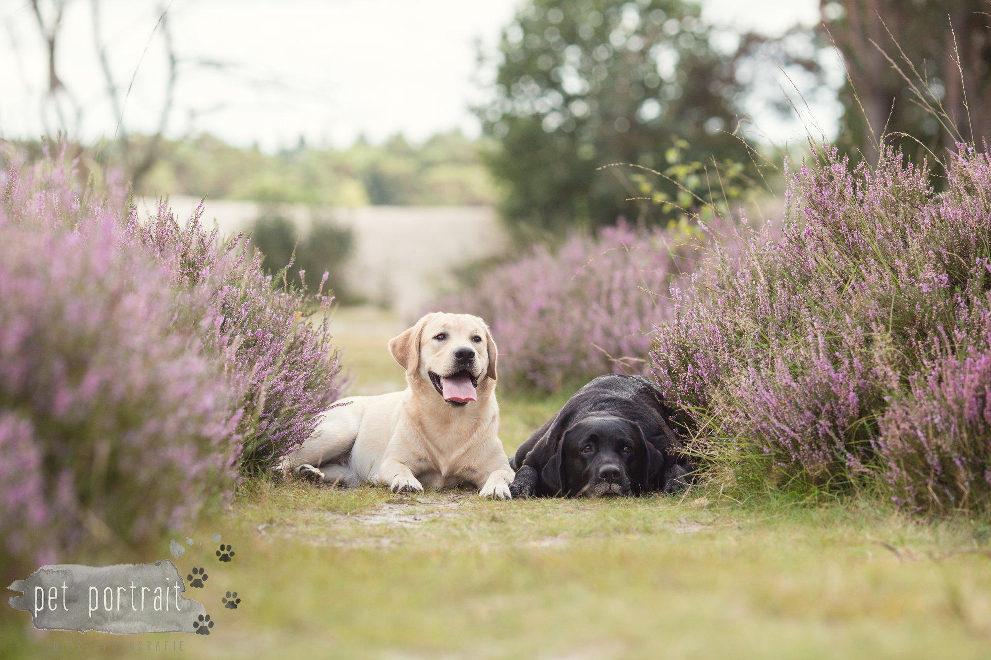 Labradors Freyja en Juno - Heide 2016-22