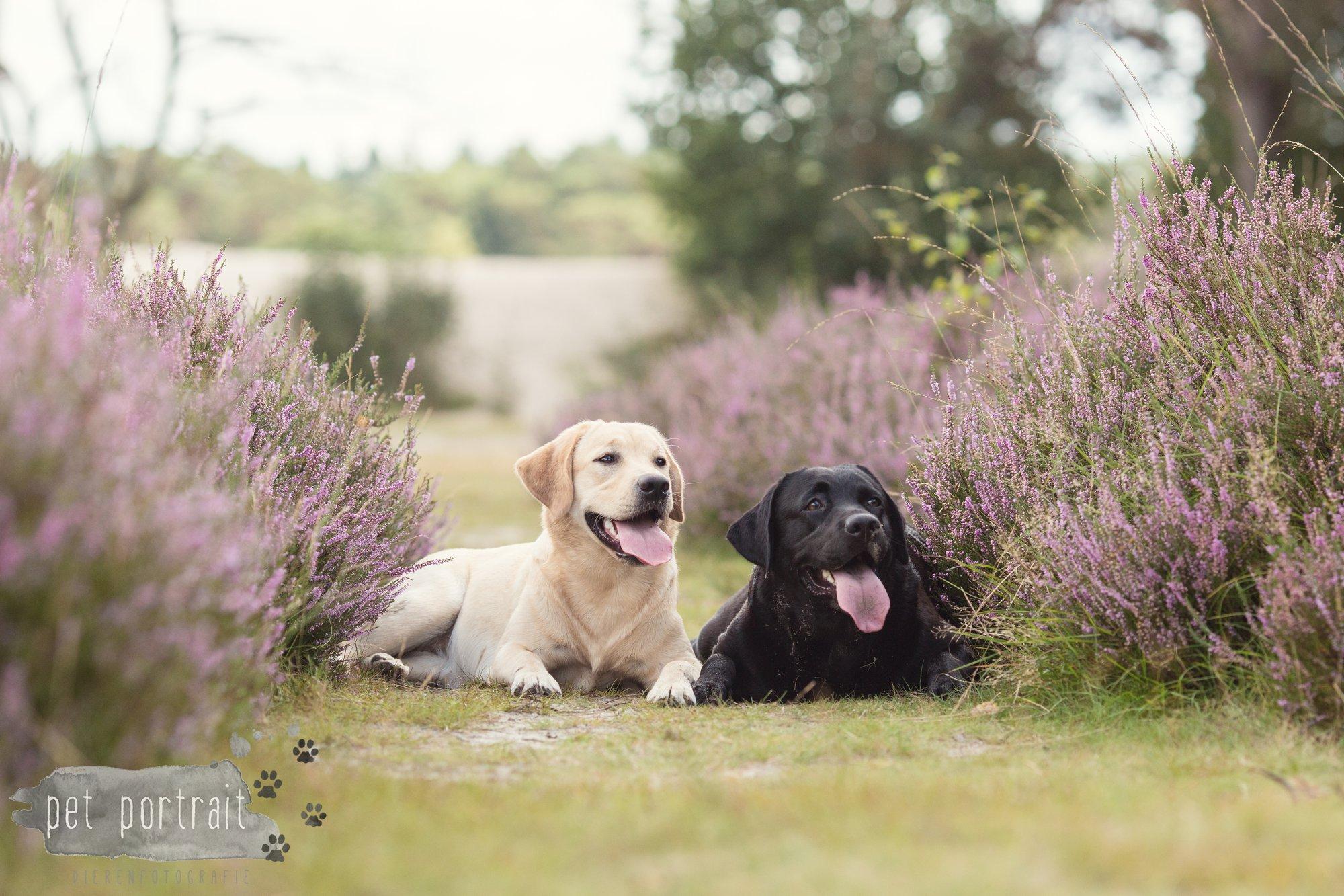 Labradors Freyja en Juno - Heide 2016-23