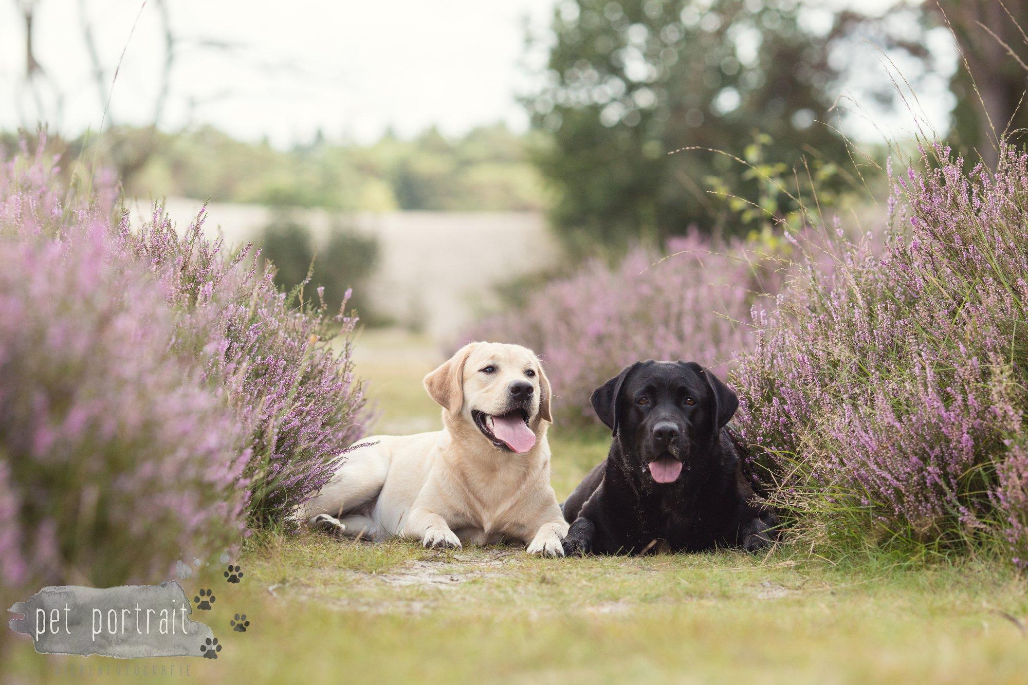 Labradors Freyja en Juno - Heide 2016-24