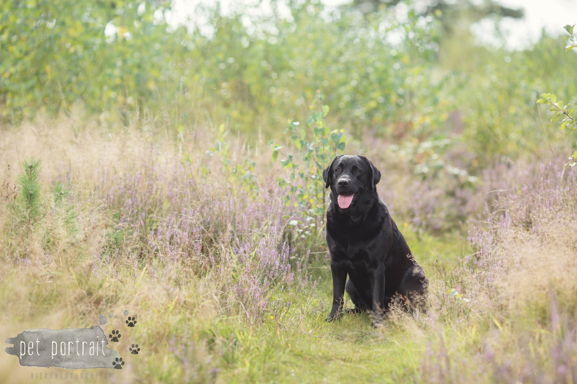 Labradors Freyja en Juno - Heide 2016-3