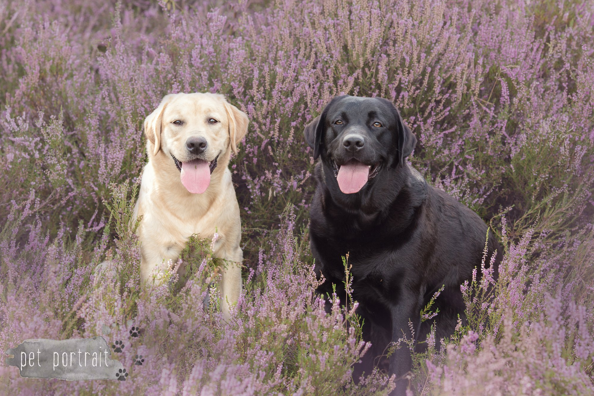 Labradors Freyja en Juno - Heide 2016-7