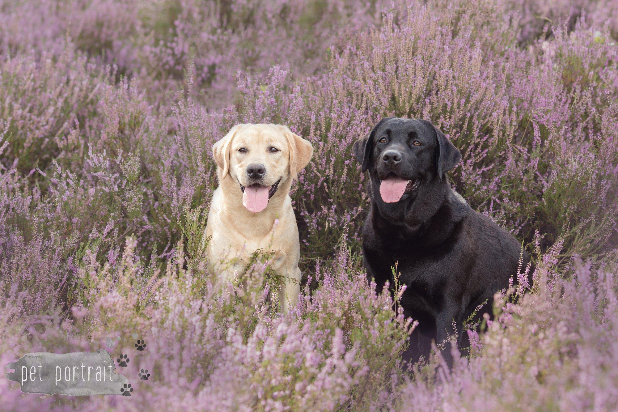Hondenfotograaf Soest - Labradors Freyja en Juno tussen de heide