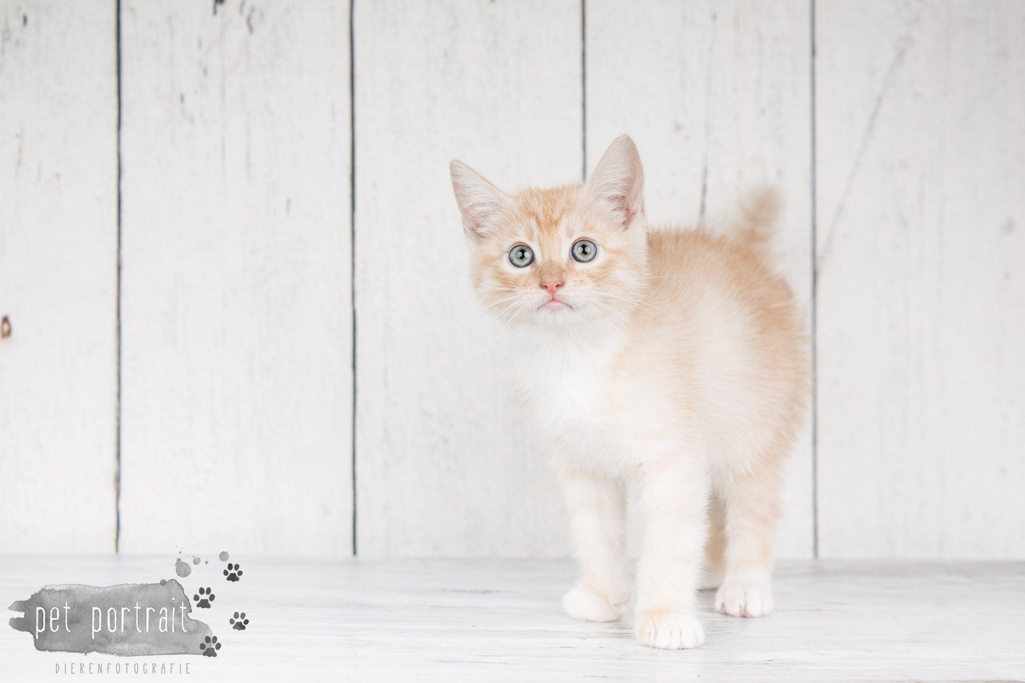 Hondenfotograaf Noordwijk - Twee Labrador retrievers en een kitten-1