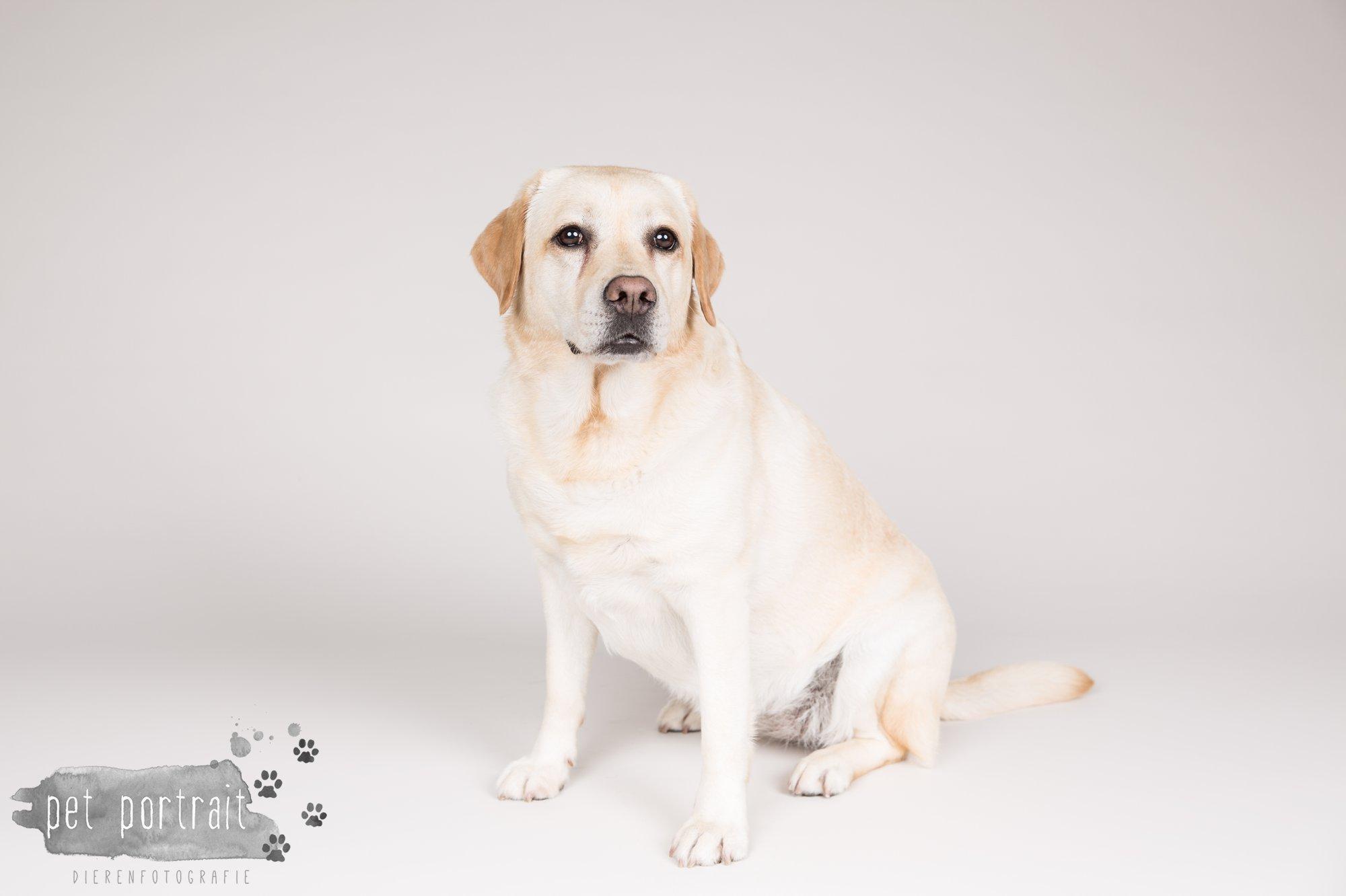 Hondenfotograaf Noordwijk - Twee Labrador retrievers en een kitten-10