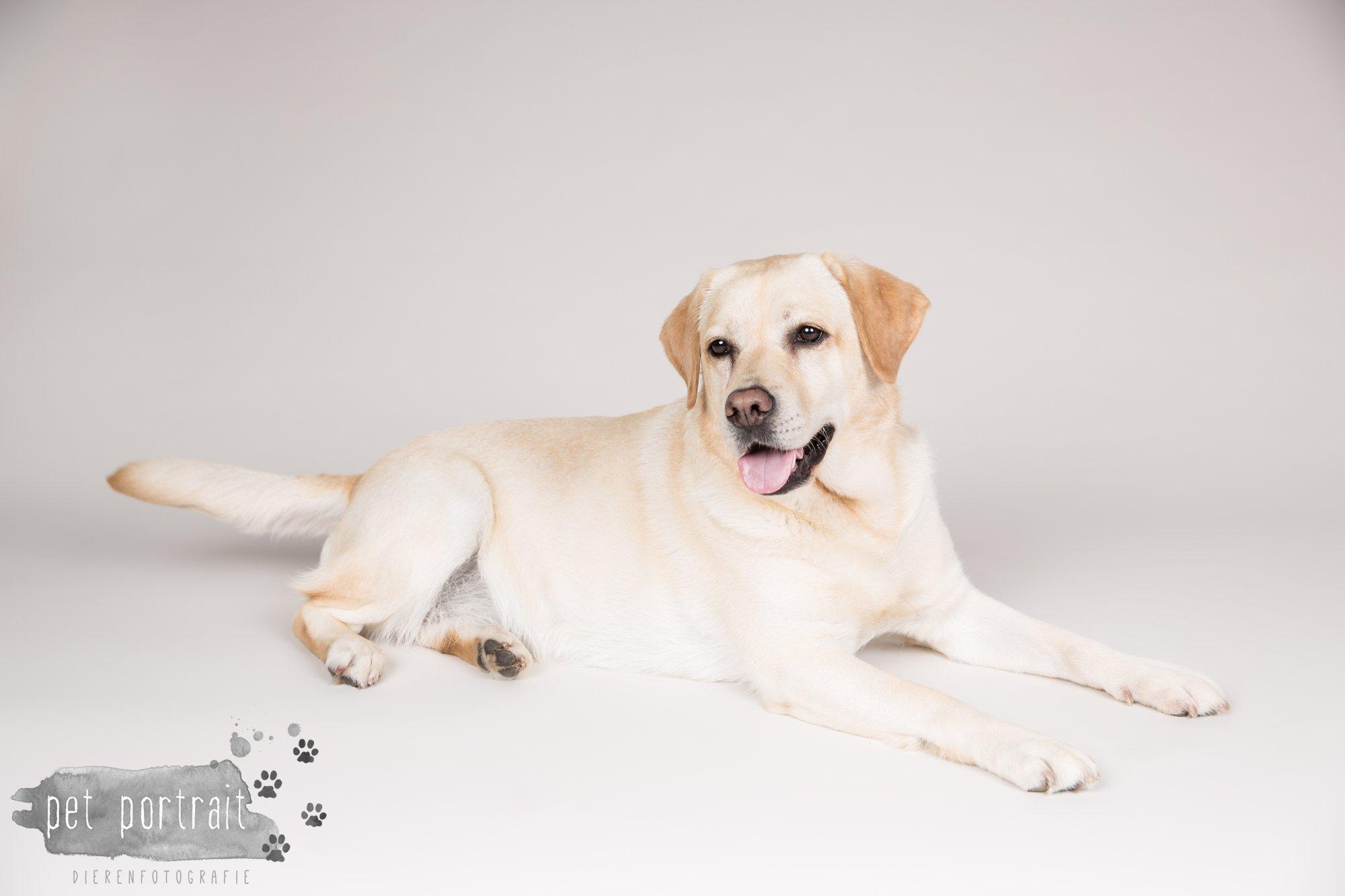 Hondenfotograaf Noordwijk - Twee Labrador retrievers en een kitten-11
