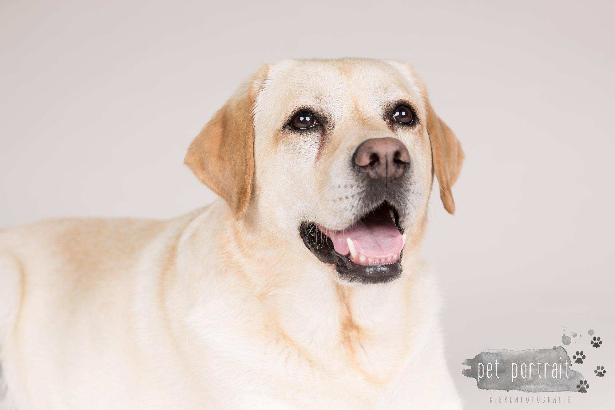 Hondenfotograaf Noordwijk - Twee Labrador retrievers en een kitten-12