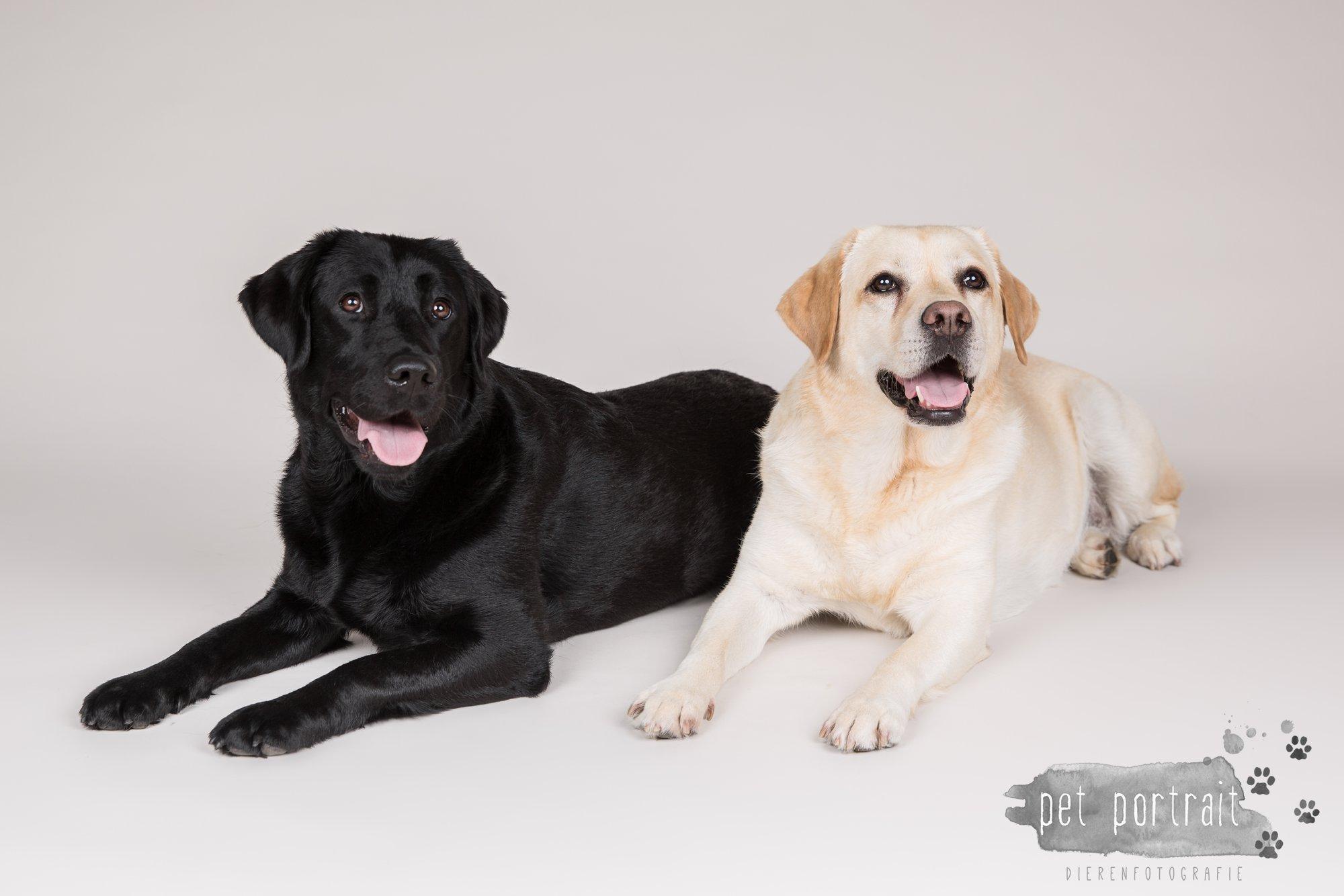 Hondenfotograaf Noordwijk - Twee Labrador retrievers en een kitten-13