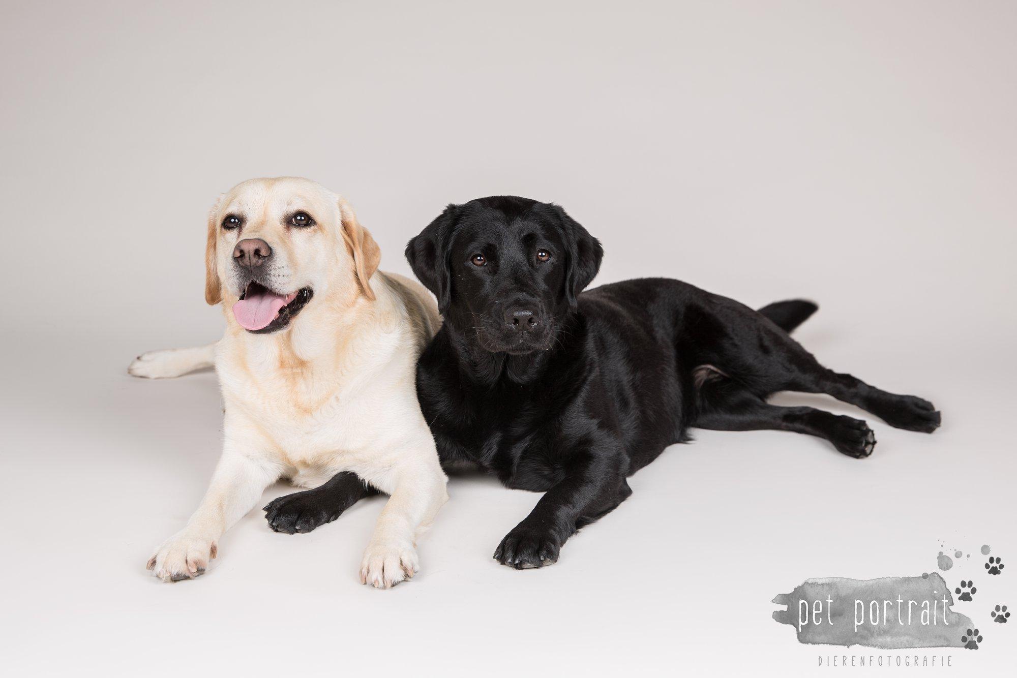Hondenfotograaf Noordwijk - Twee Labrador retrievers en een kitten-14