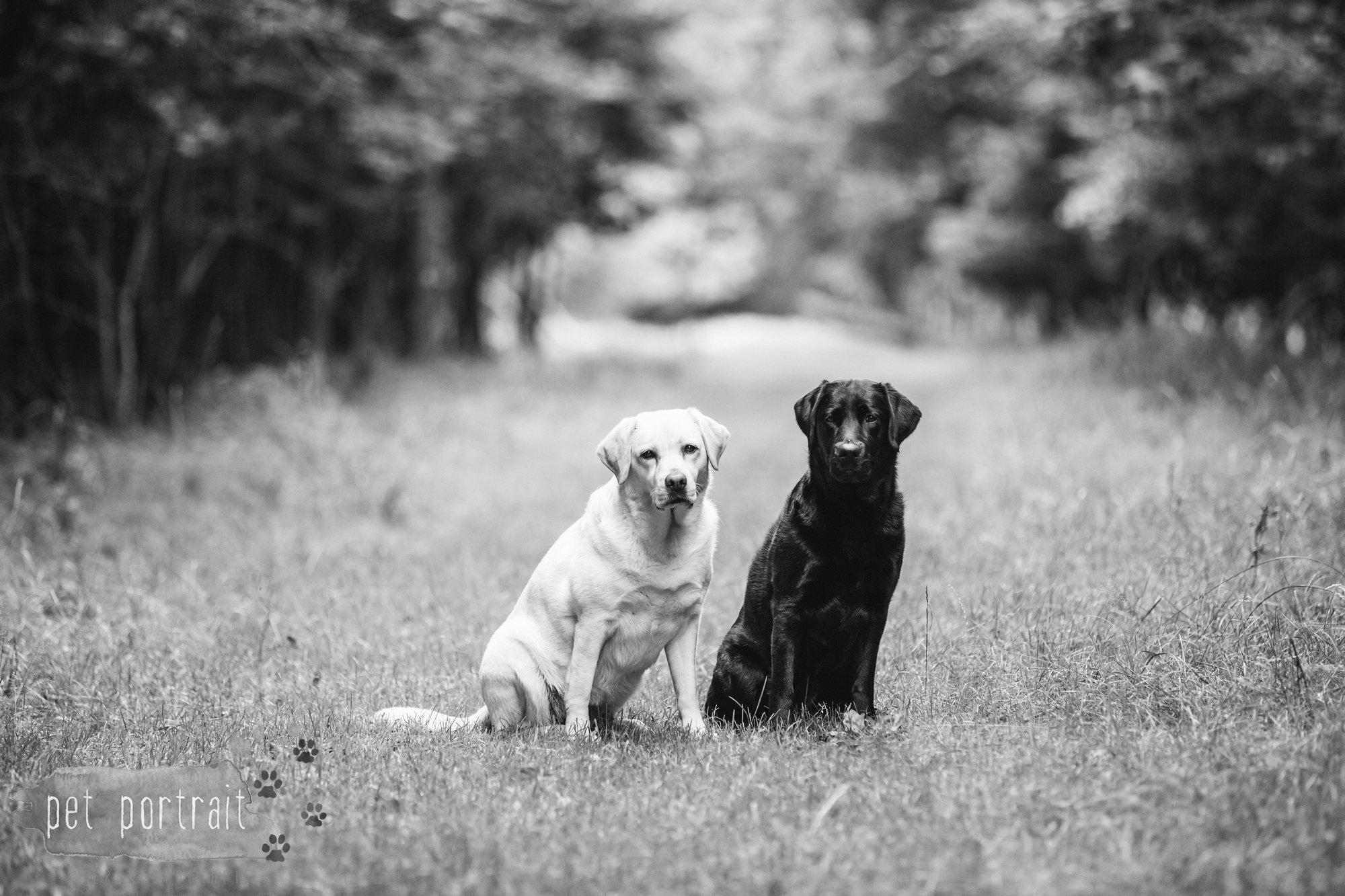 Hondenfotograaf Noordwijk - Twee Labrador retrievers en een kitten-15