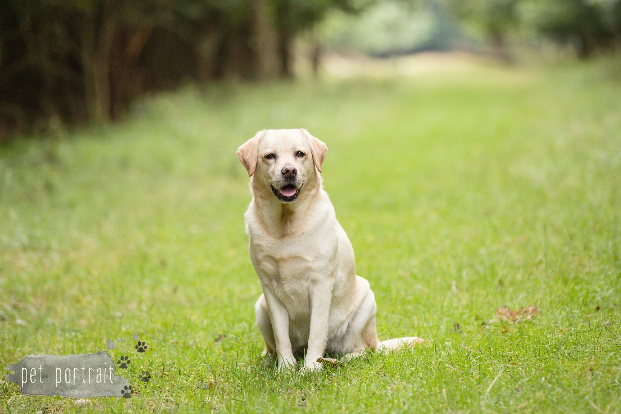 Hondenfotograaf Noordwijk - Twee Labrador retrievers en een kitten-16
