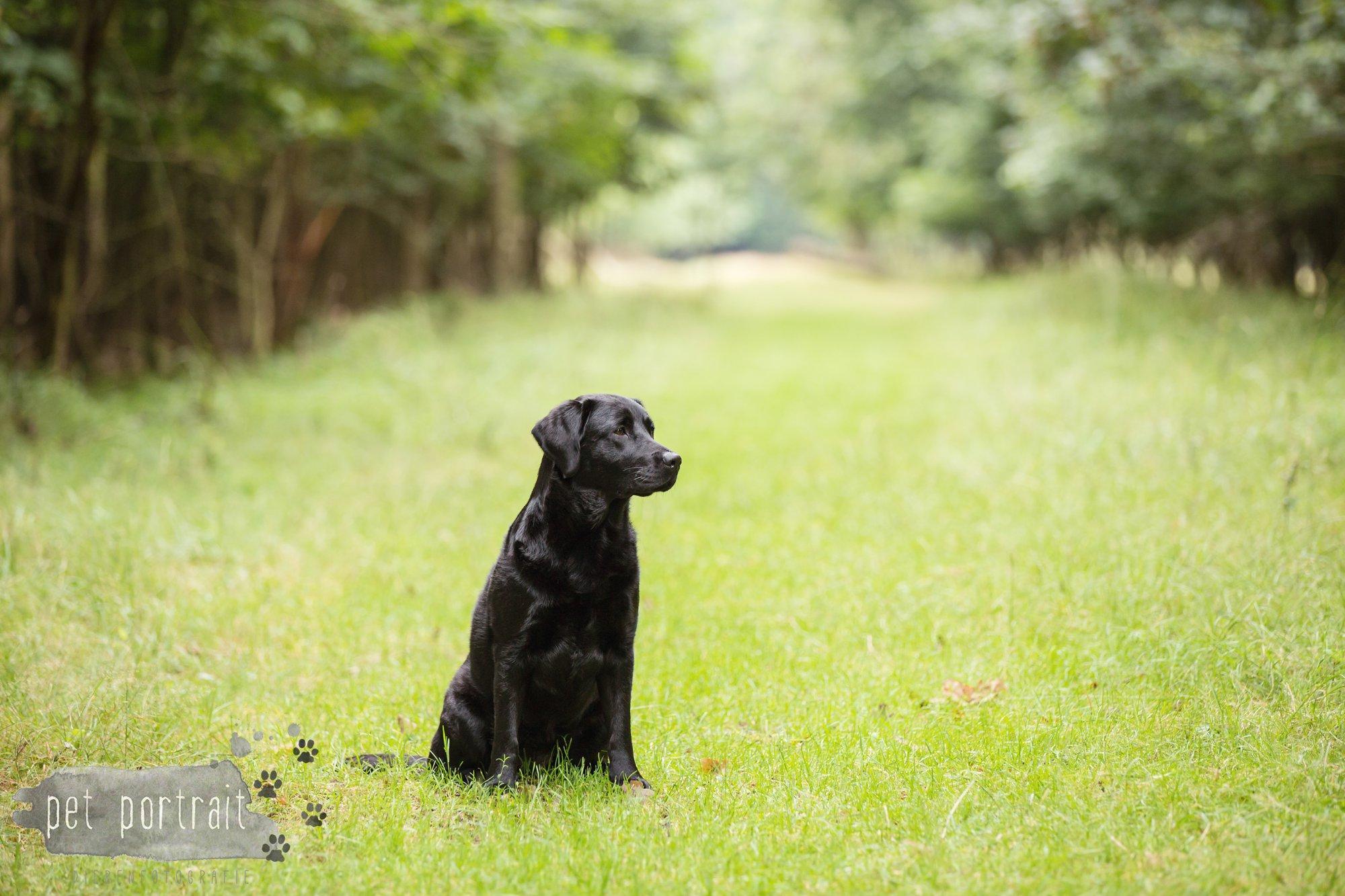 Hondenfotograaf Noordwijk - Twee Labrador retrievers en een kitten-17