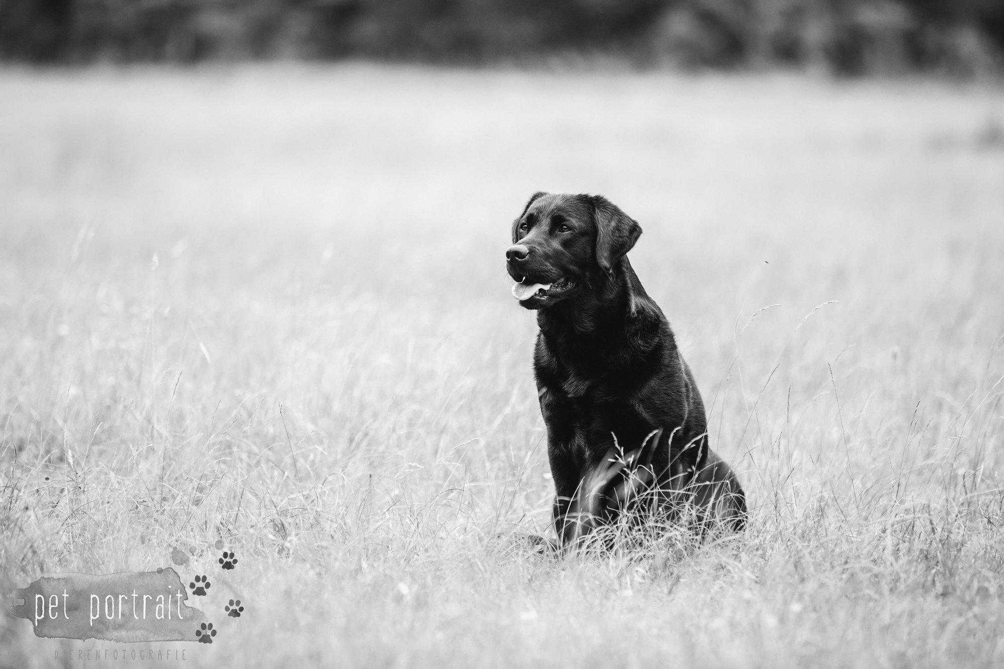Hondenfotograaf Noordwijk - Twee Labrador retrievers en een kitten-19
