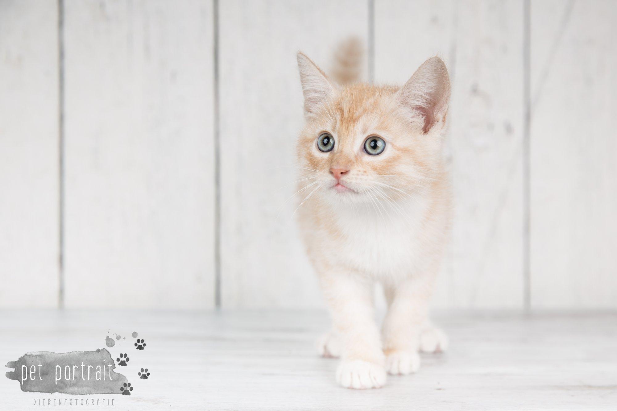 Hondenfotograaf Noordwijk - Twee Labrador retrievers en een kitten-2