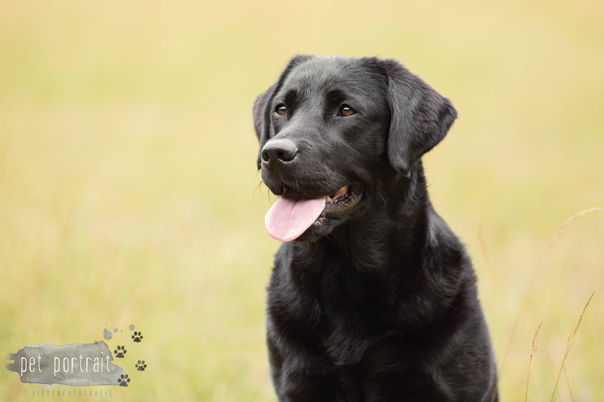 Hondenfotograaf Noordwijk - Twee Labrador retrievers en een kitten-20